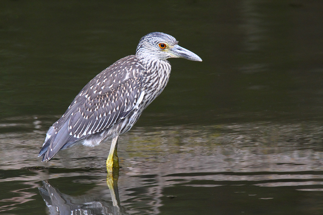 A crowd gathered at Swan Lake on Sept. 7 to glimpse this bird, a juvenile yellow-crowned night heron. The bird is rarely seen in this part of the world, and it is only the third one on site that has been recorded. Thanks to AD's Peter Kasper for the information. Photo: Gordon Garcia, Bartlett, Illinois
