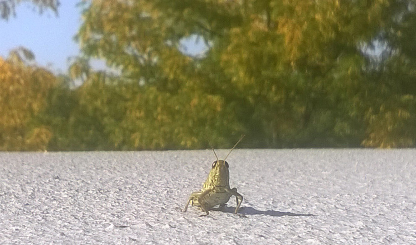 A grasshopper stops for a photo on the ledge outside Wilson Hall. Photo: Troy Rummler, Office of Communication