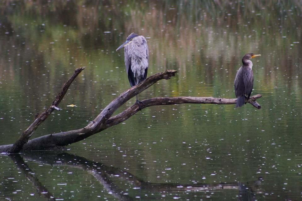 A great blue heron and a young double-crested cormorant enjoy the evening on Bullrush Pond. Photo: Bridget Scerini, TD