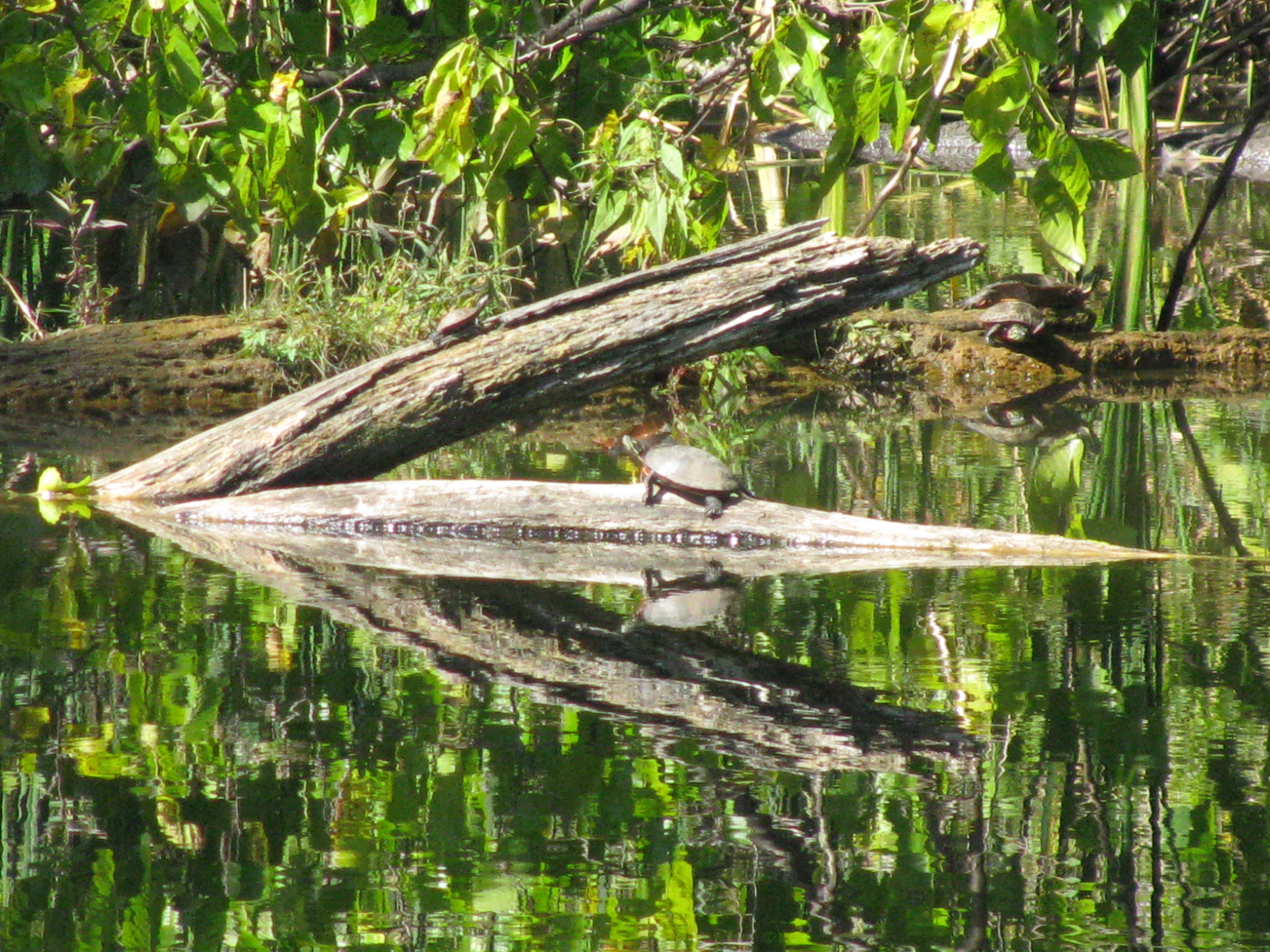 These turtles, catching some rays by the little pond at Site 38, have the right idea. Photo: Sue Quarto, FESS