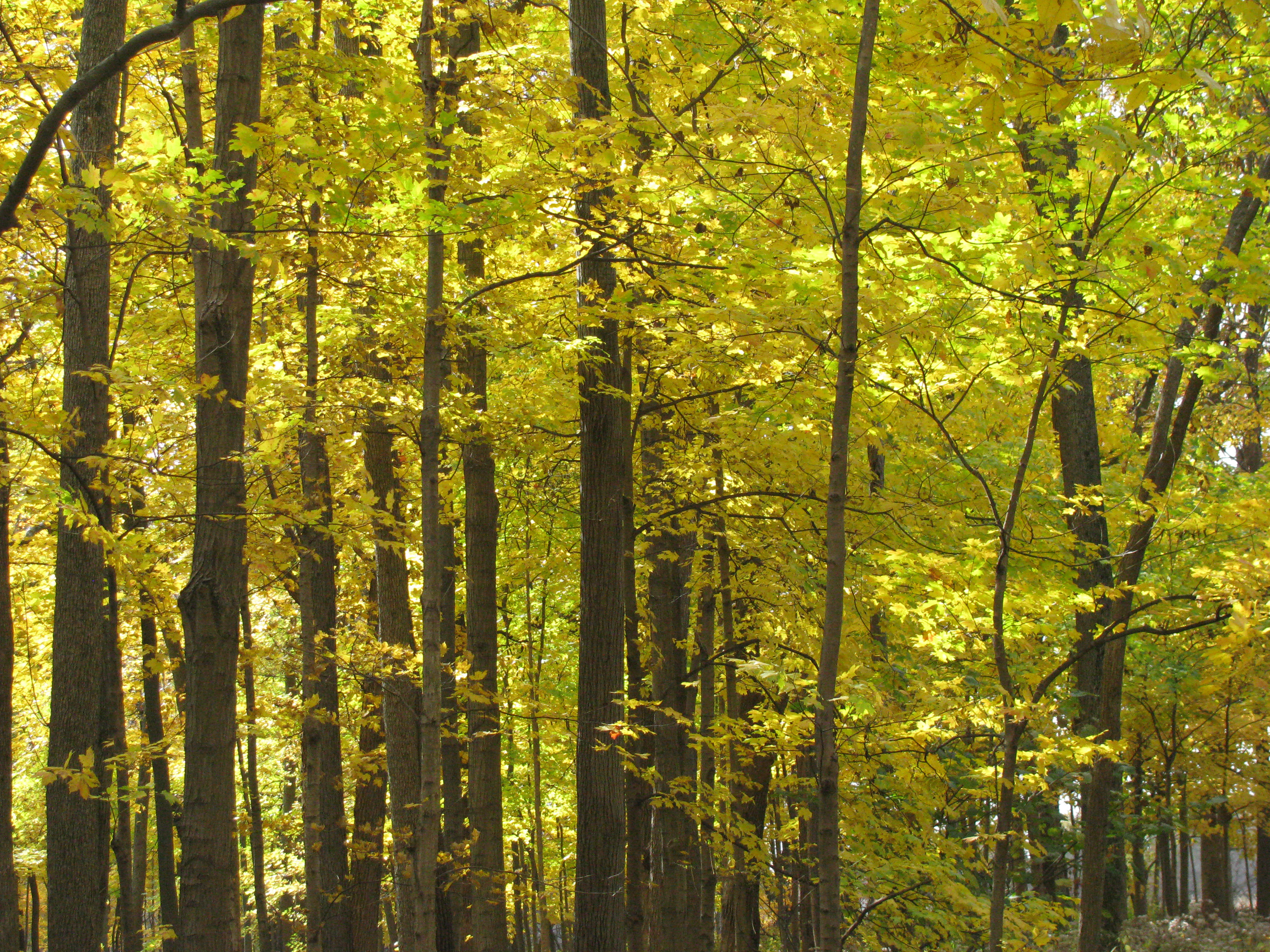 The leaves in Big Woods turn bright yellow early last month. Photo: Sue Quarto, FESS
