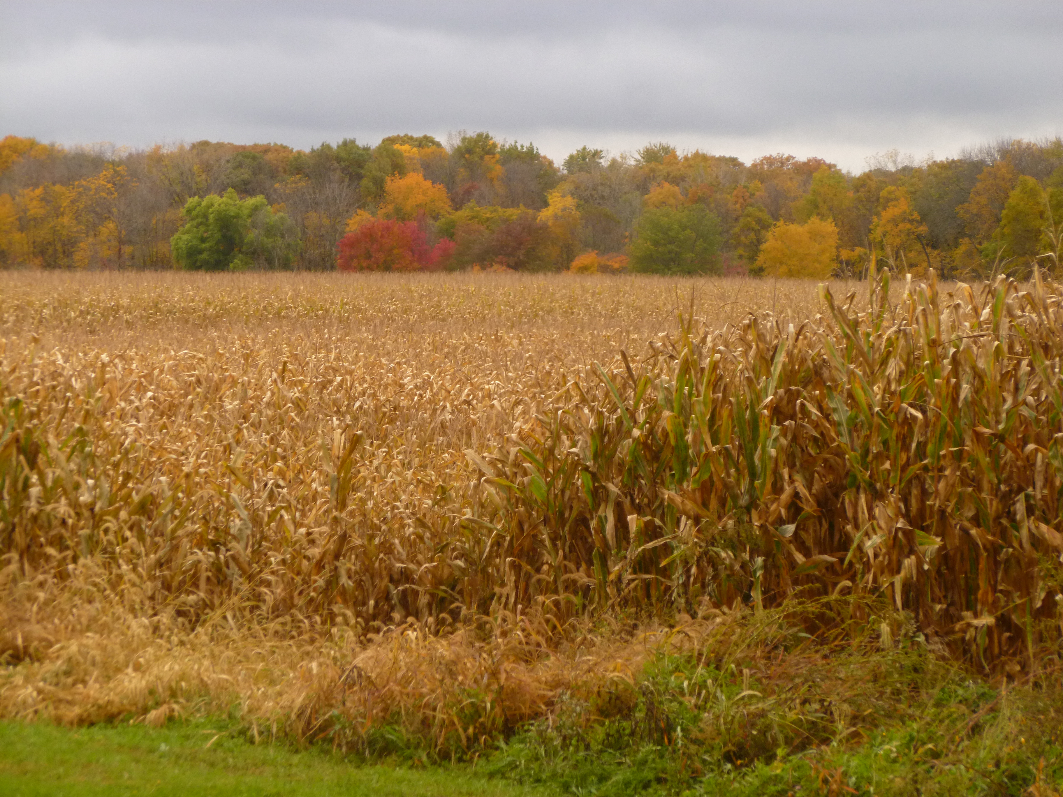 From Pioneer Cemetery, one can see the trees turning above the corn fields. Photo: Amy Scroggins, Abri Credit Union