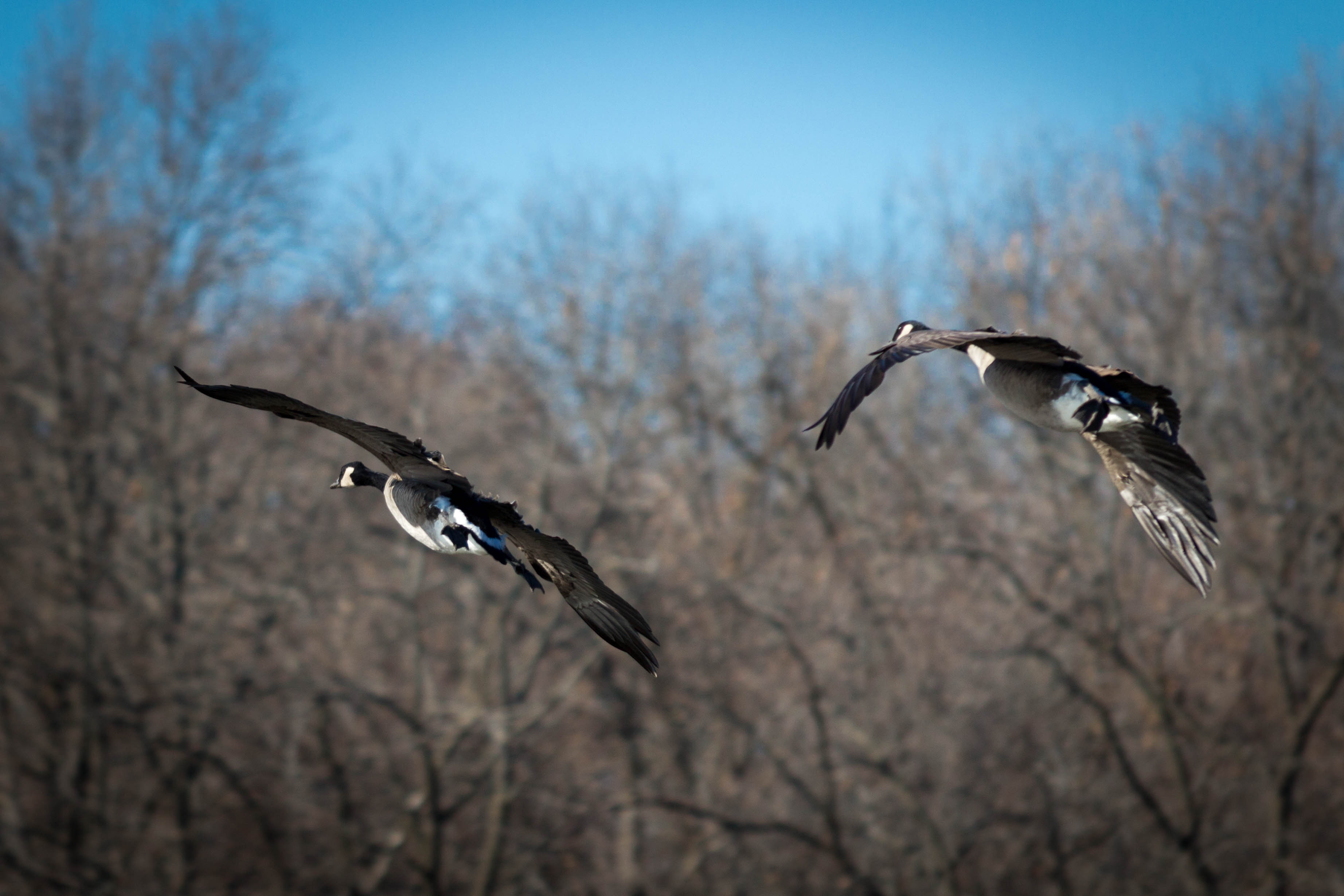 Large gaggles of geese have been recently sighted moving on again from land and sea. Photo: Jesus Orduna, Brown University