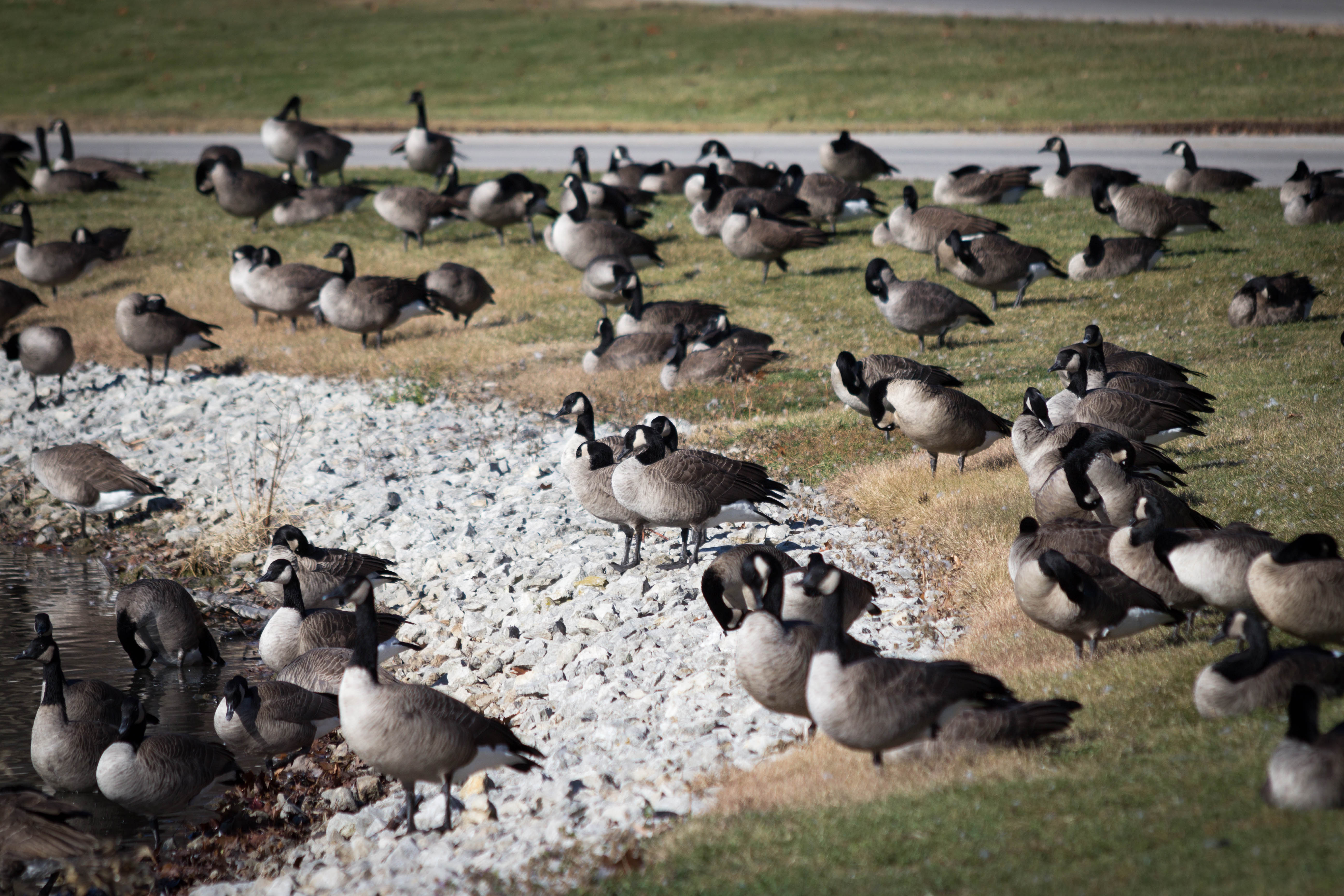 Large gaggles of geese have been recently sighted resting on the shore of Swan Lake. Photo: Jesus Orduna, Brown University