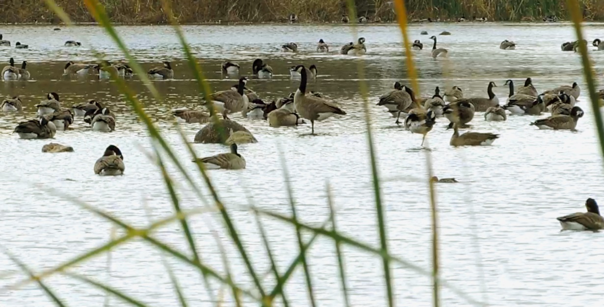 Large gaggles of geese have been recently sighted populating Swan Lake ... Photo: Julianna Holden Mohler