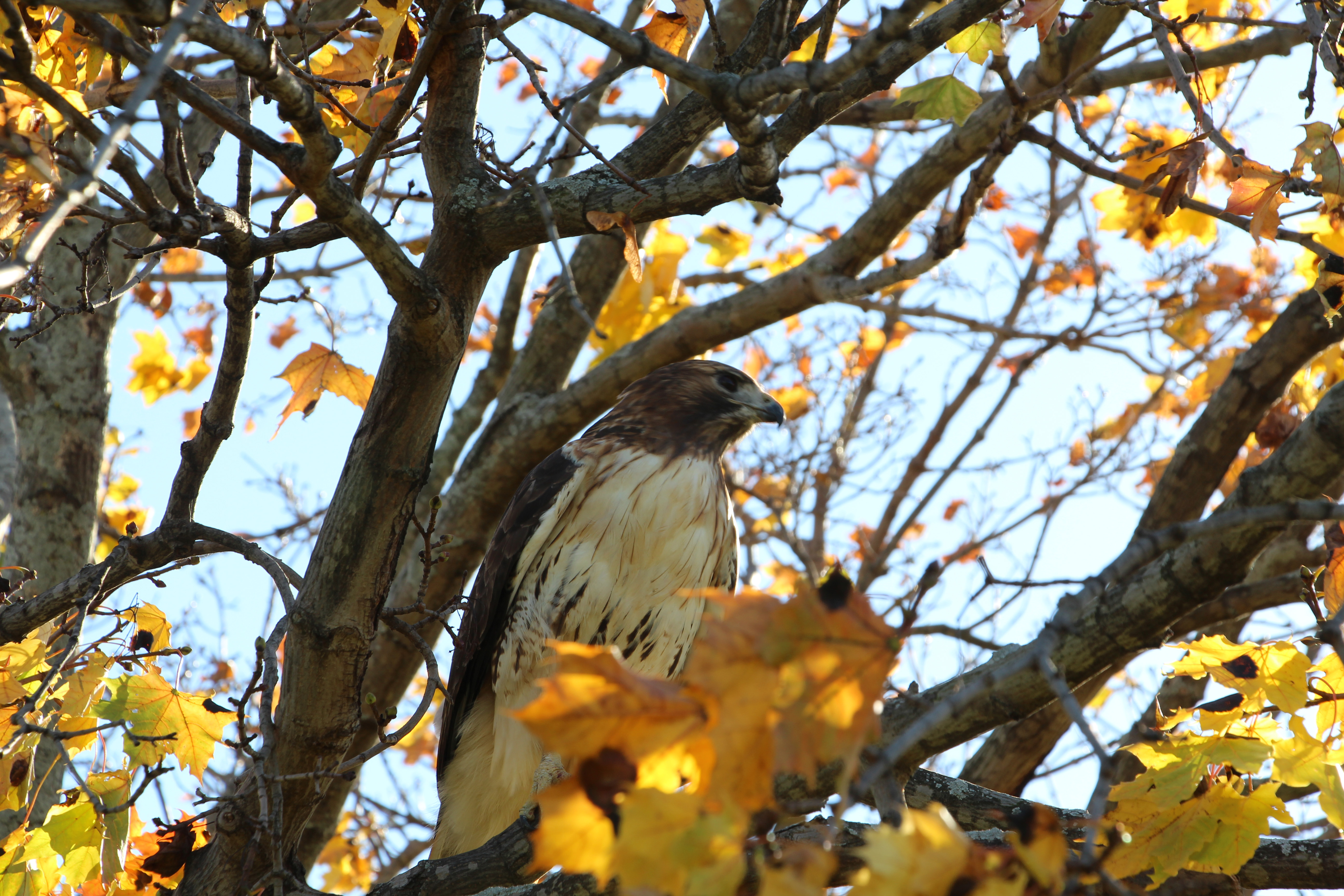 On a sunny fall day, a red-tailed hawk perches on a tree branch near the bison farm. Photo: David Pavel Juarez Lopez, University of Guanajuato