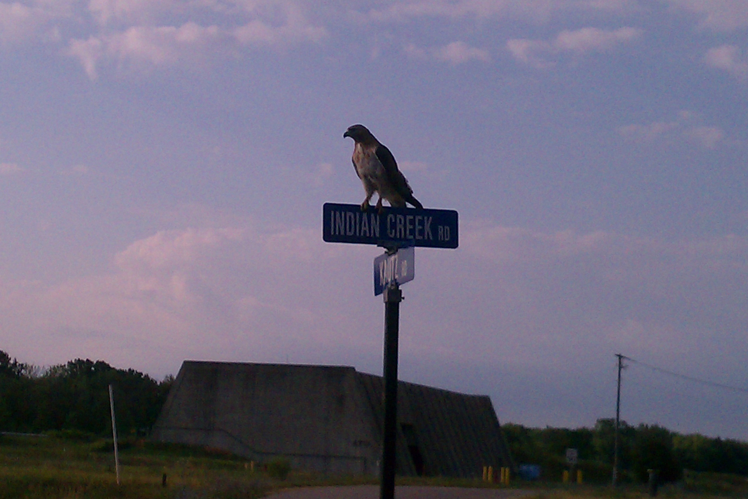 A hawk alights on one of its favorite perches at Fermilab: a road sign. Photo: Skyler Sherwin, PPD