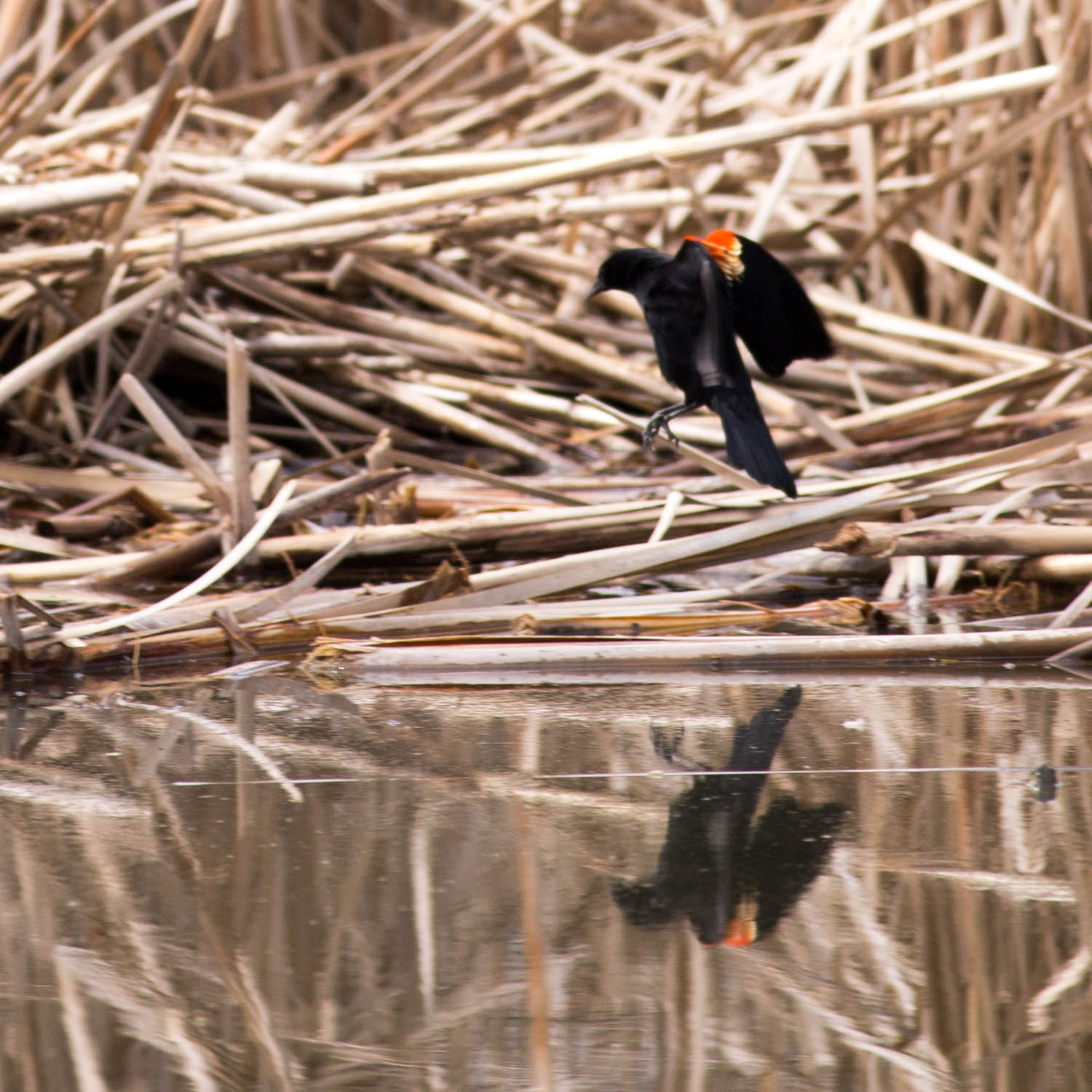 A red-winged blackbird's landing is reflected in the pond. Photo: Jesus Orduna, Brown University