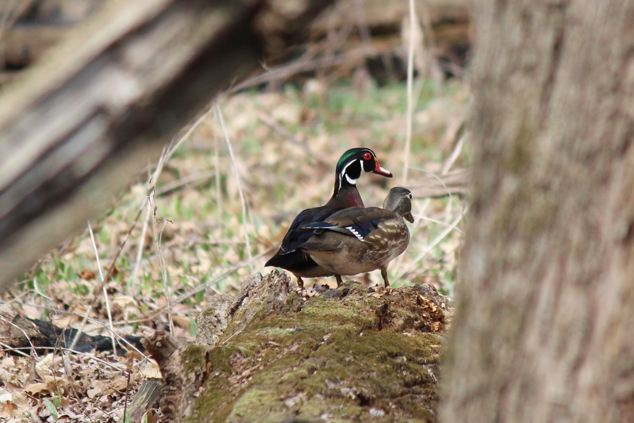 A pair of wood ducks in Big Woods just north of Pine Street nestle up to each other. Photo: Tom Peterson, TD