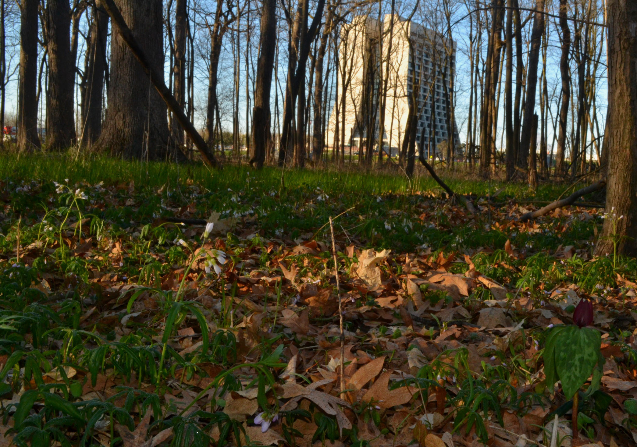 You can find purple trillium in the woods by Wilson Hall. Photo: Patrick Sheahan, AD