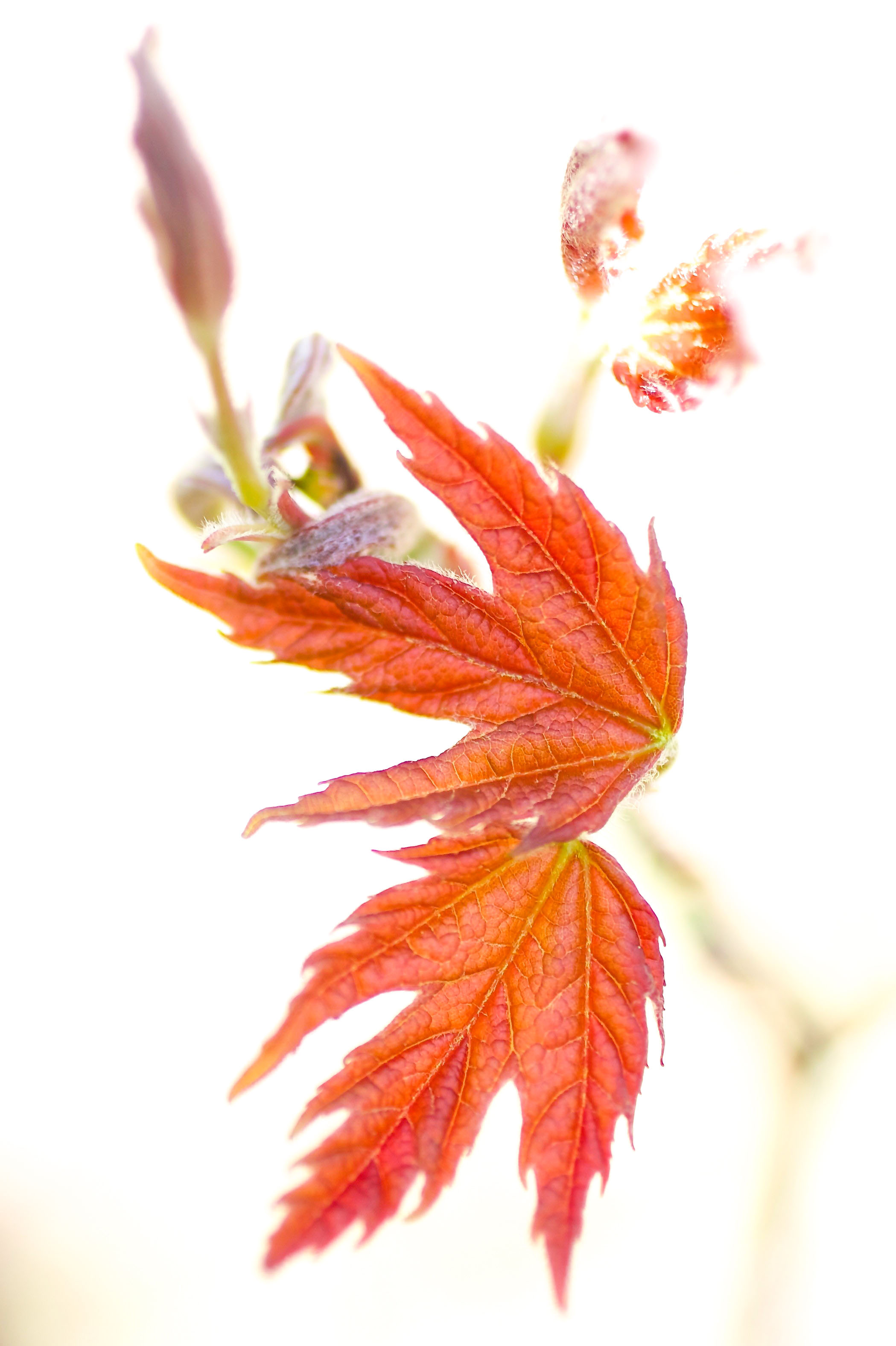These bright red leaves of spring could almost pass for fall foliage. Young silver maple grows by pond under the footbridge between Wilson Hall and the Lederman Science Center. Photo: Leticia Shaddix, PPD
