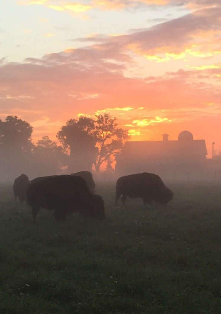 Bison feed on a misty morning. Photo: Will Alvarez and Cleo Garcia, FESS