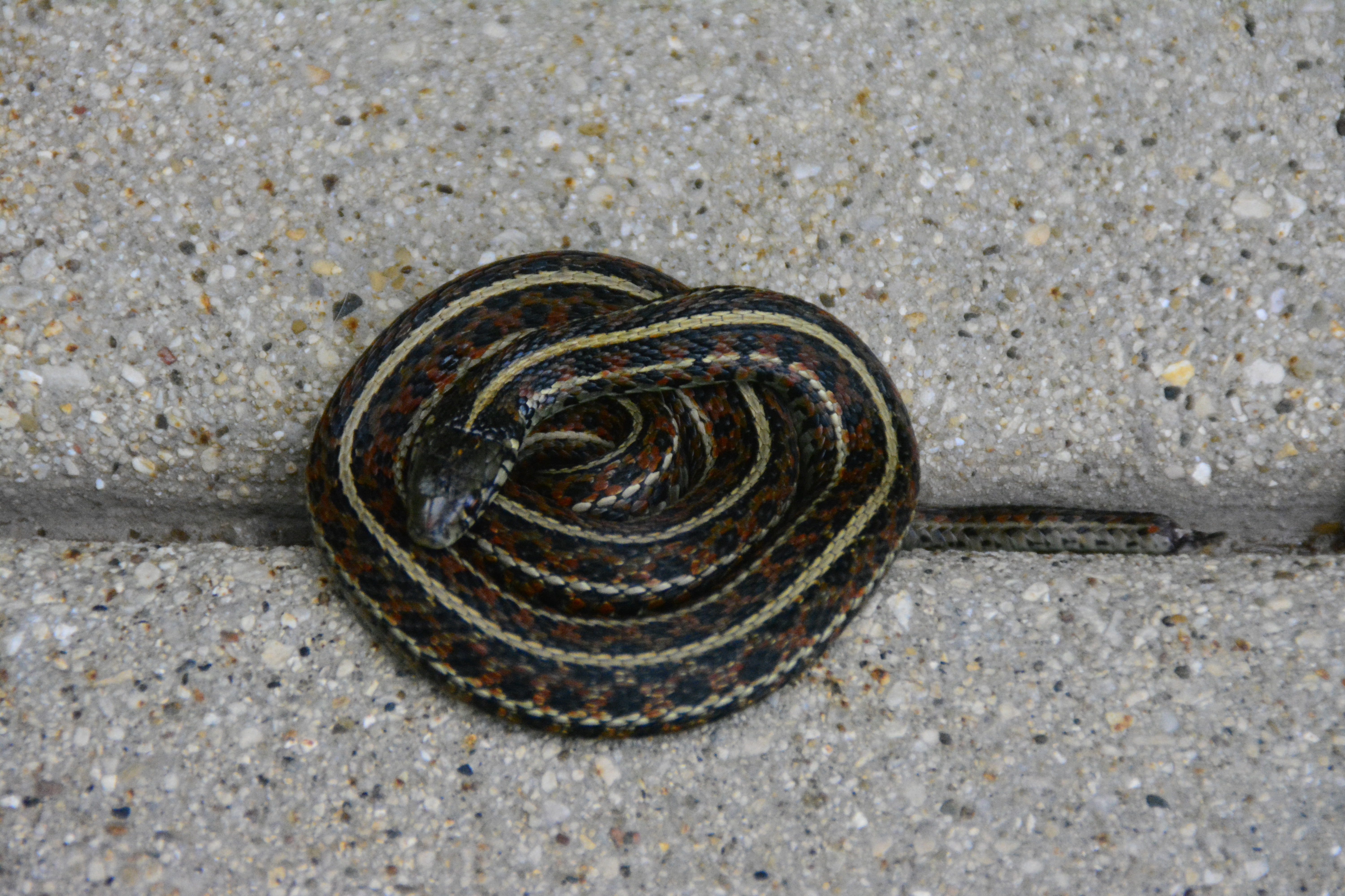 A common garter snake warms itself on the sidewalk just outside of ICB's west entrance. Photo: Leslie Peters, TD