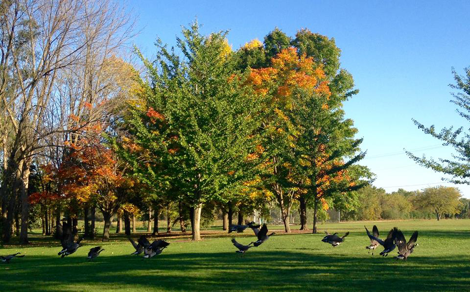 Against a backdrop of fall colors, geese fly into the sky. Photo: Sudeshna Ganguly, University of Illinois at Urbana-Champaign