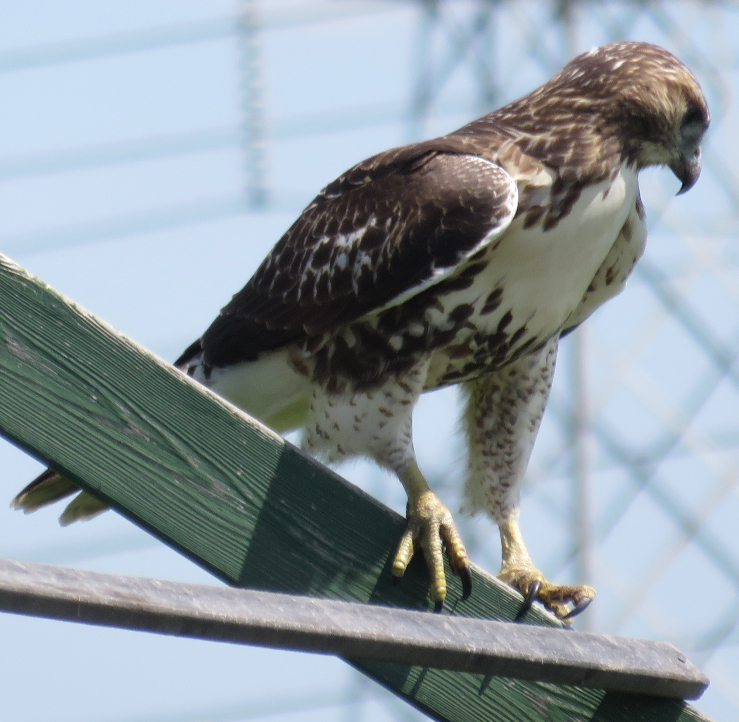 A hawk views the Fermilab site from a wooden beam near the Fermilab gardens. Photo: Barb Kristen, PPD