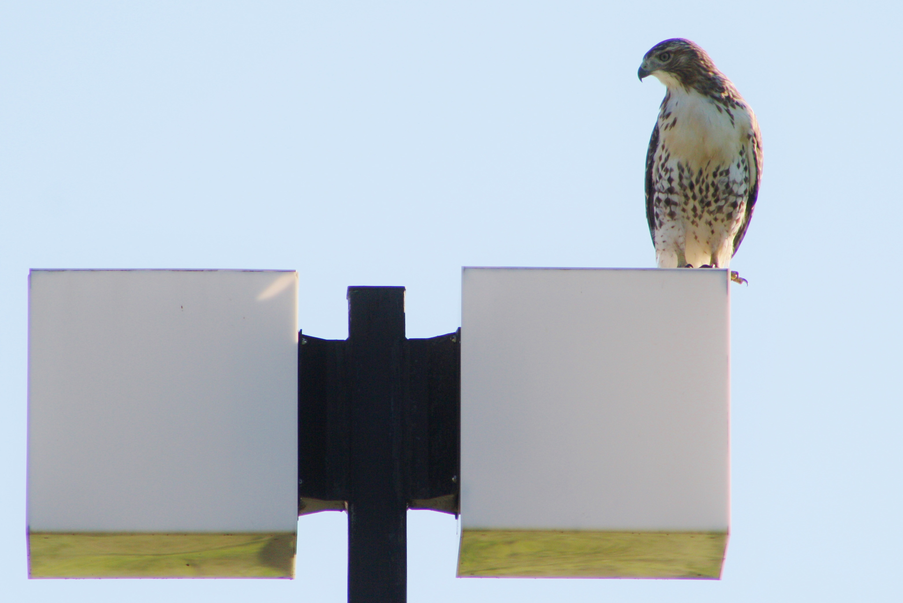 A hawk views the Fermilab site from a lamppost ... Photo: Bridget Scerini, TD