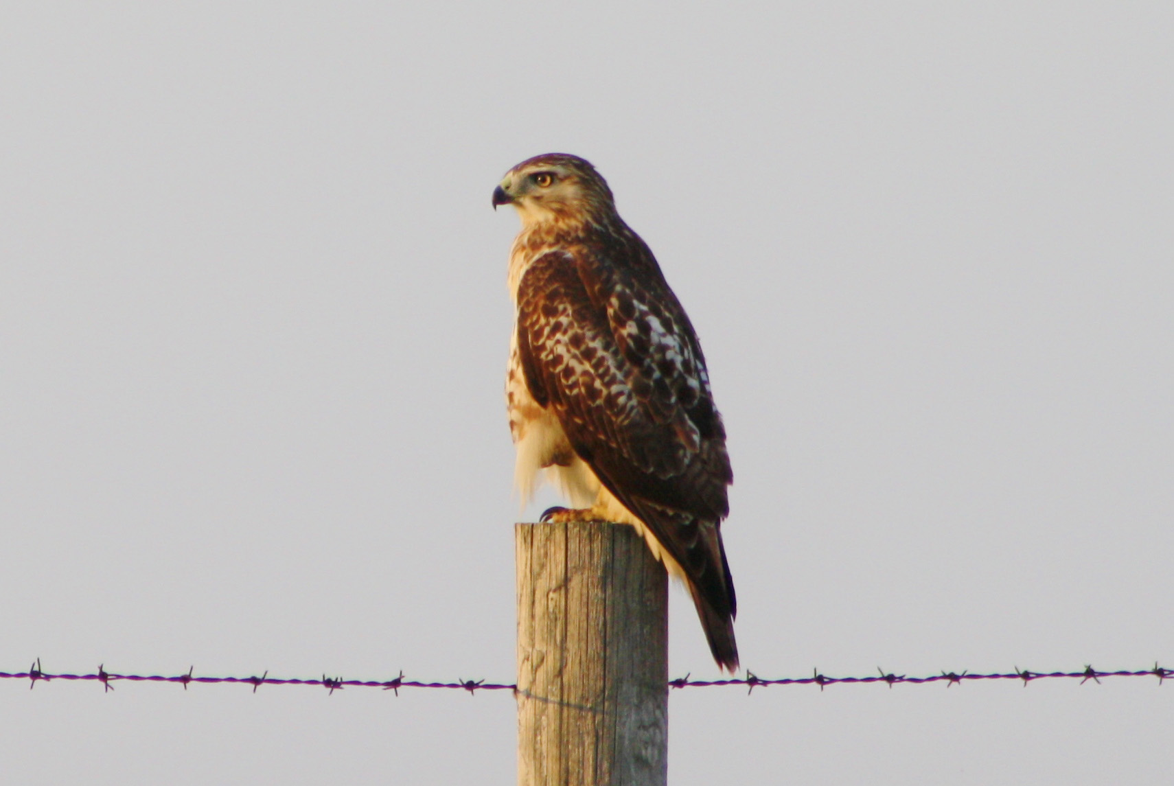 This hawk is checking out Fermilab from a barbwire fencepost. Photo: Bridget Scerini, TD