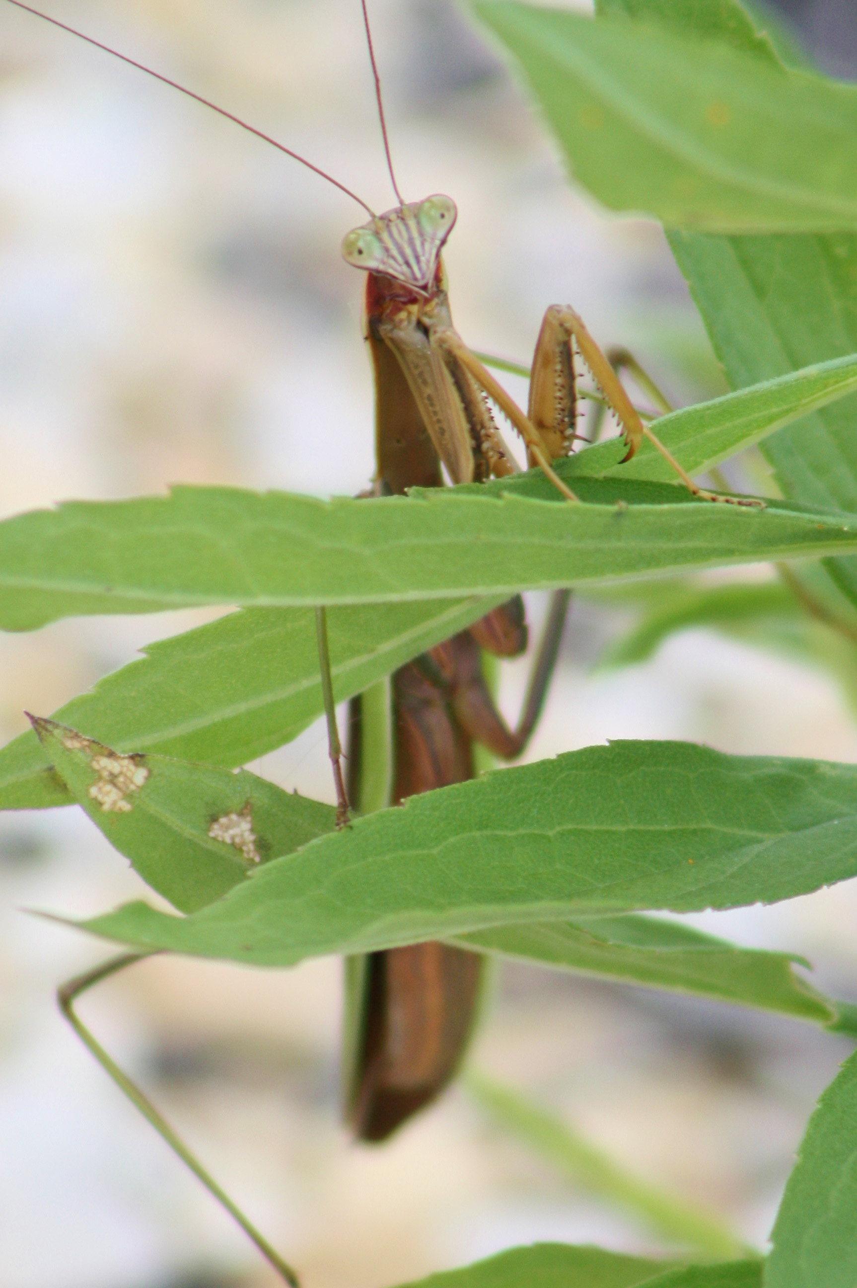 A praying mantis behind the Industrial Building Complex trailers appears caught off guard. Photo: Bridget Scerini, TD
