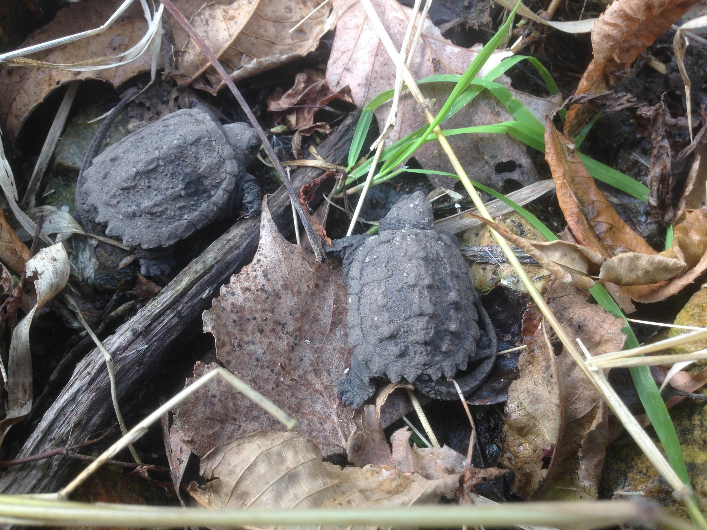 These little turtles were found wandering the parking lot of Wilson Hall. They were safely relocated to the swampy area by the pedestrian bridge, where the appear much happier. Photo: Patrick Sheahan, AD