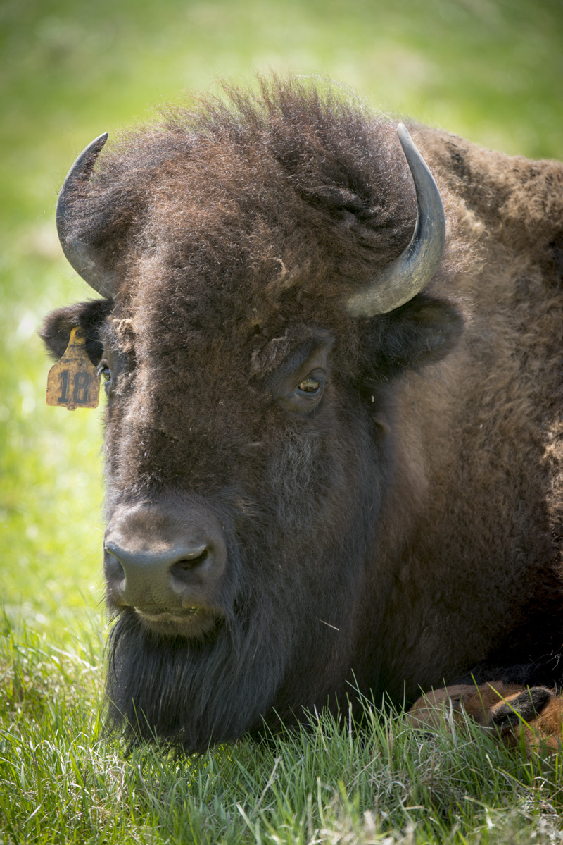 A bison rests with the first calf born in 2015.