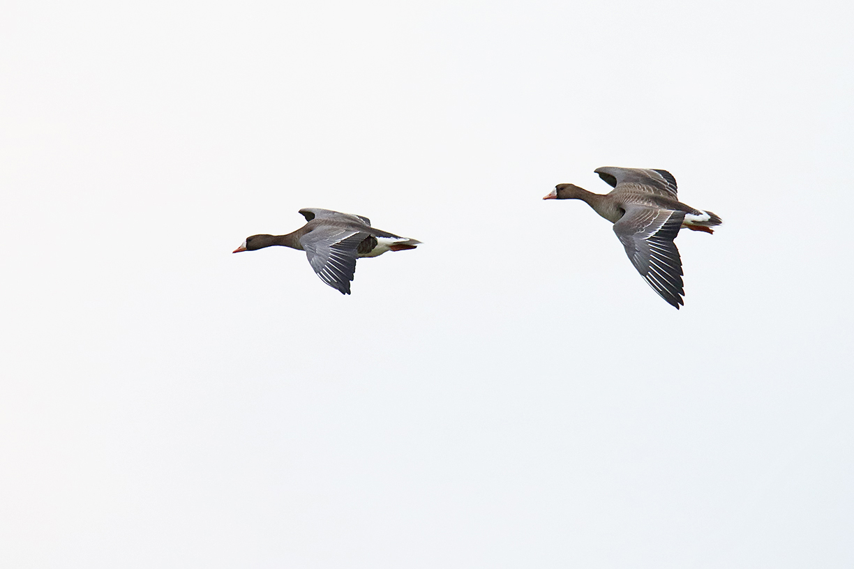 Two greater white-fronted geese prepare to land in the bison pasture. Photo: Gordon Garcia