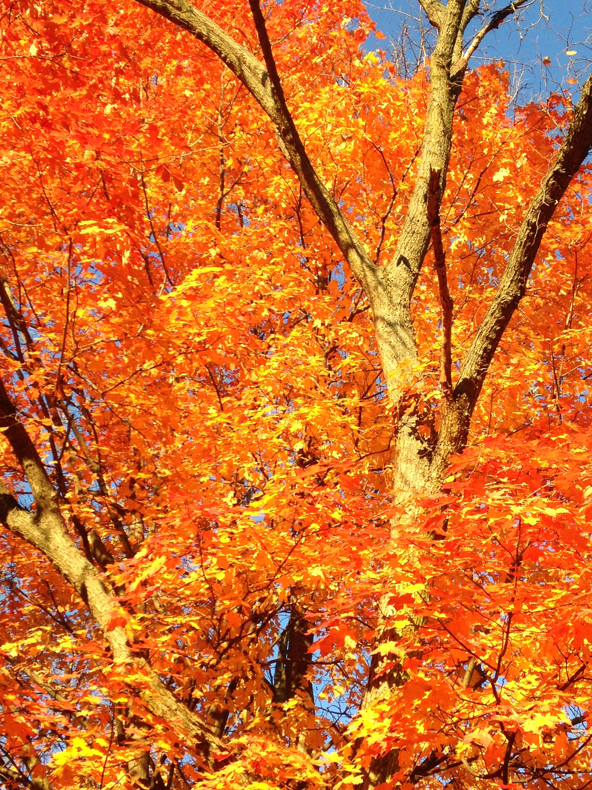 This wonderfully fiery sugar maple is on the pedestrian path between Lederman Science Center and Wilson Hall. Photo: Jamieson Olsen, AD
