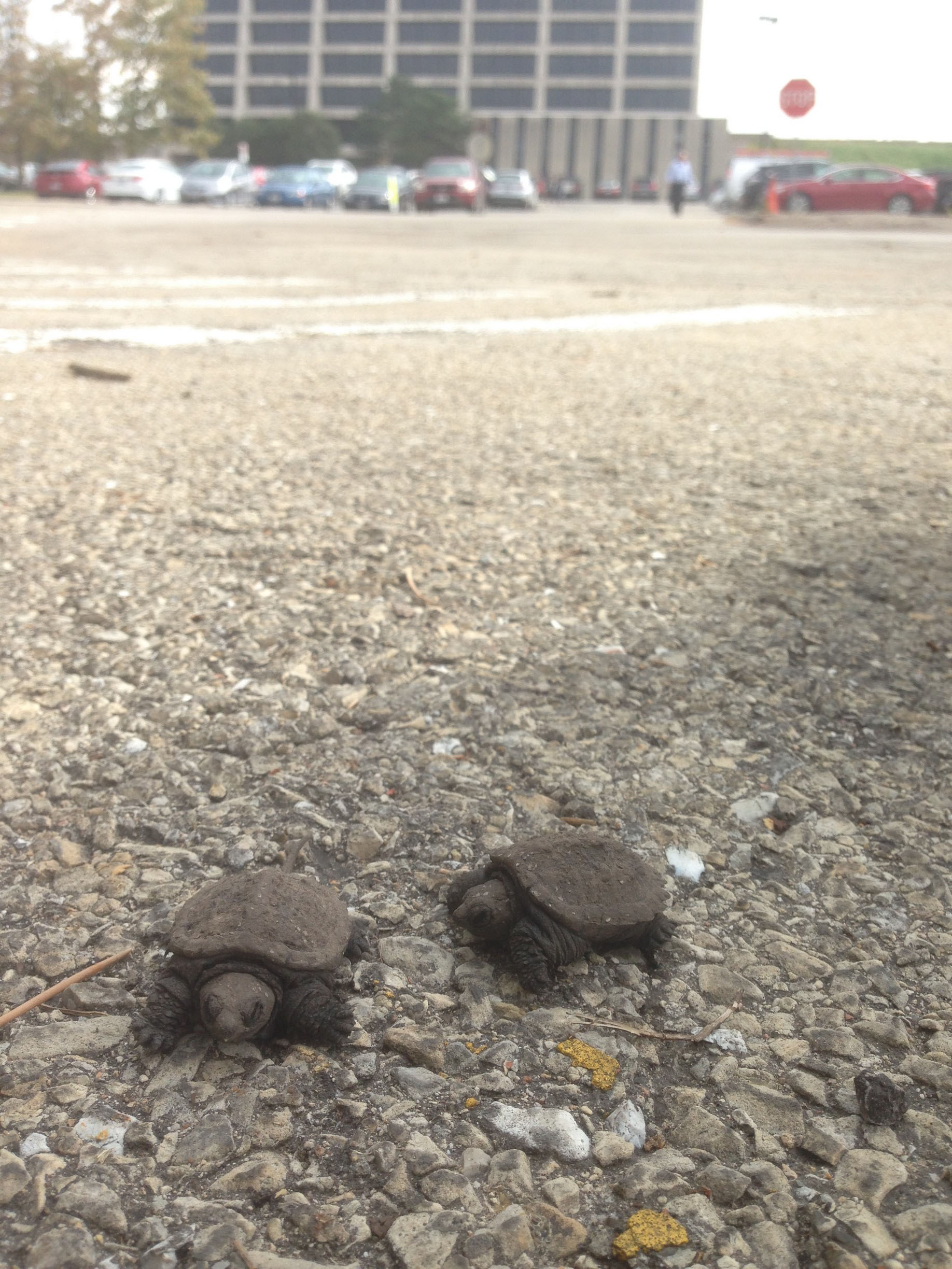These little guys, barely two inches long, were recently seen wandering in the parking lot west of Wilson Hall. They were taken to safety. Photo: Patrick Sheahan, AD