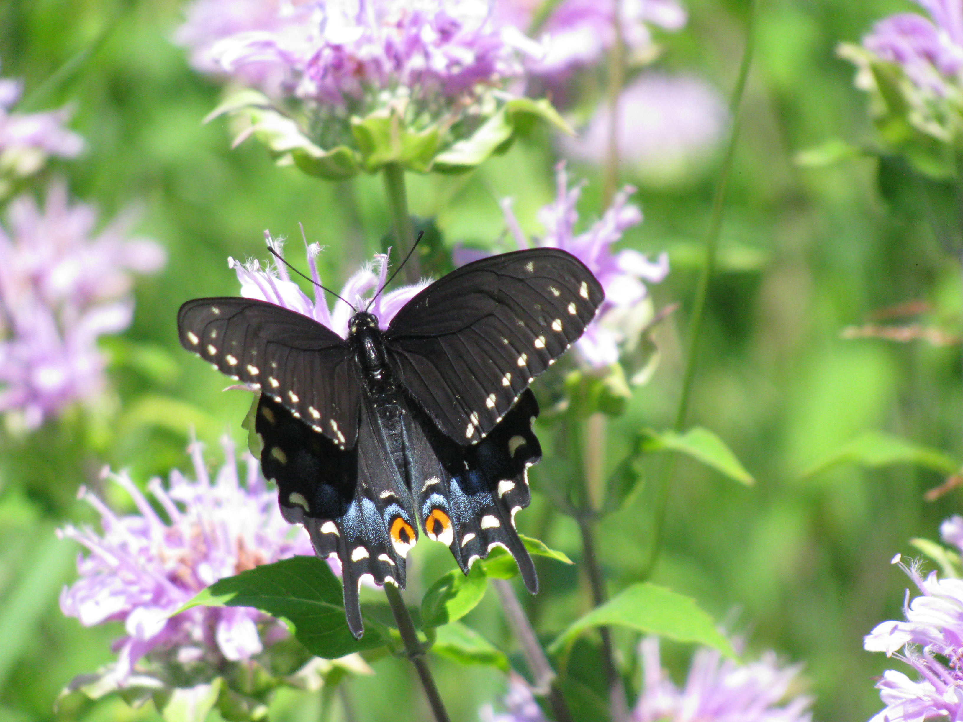 A black swallowtail alights on a bergamot flower in Big Woods. Photo: Sue Quarto, FESS