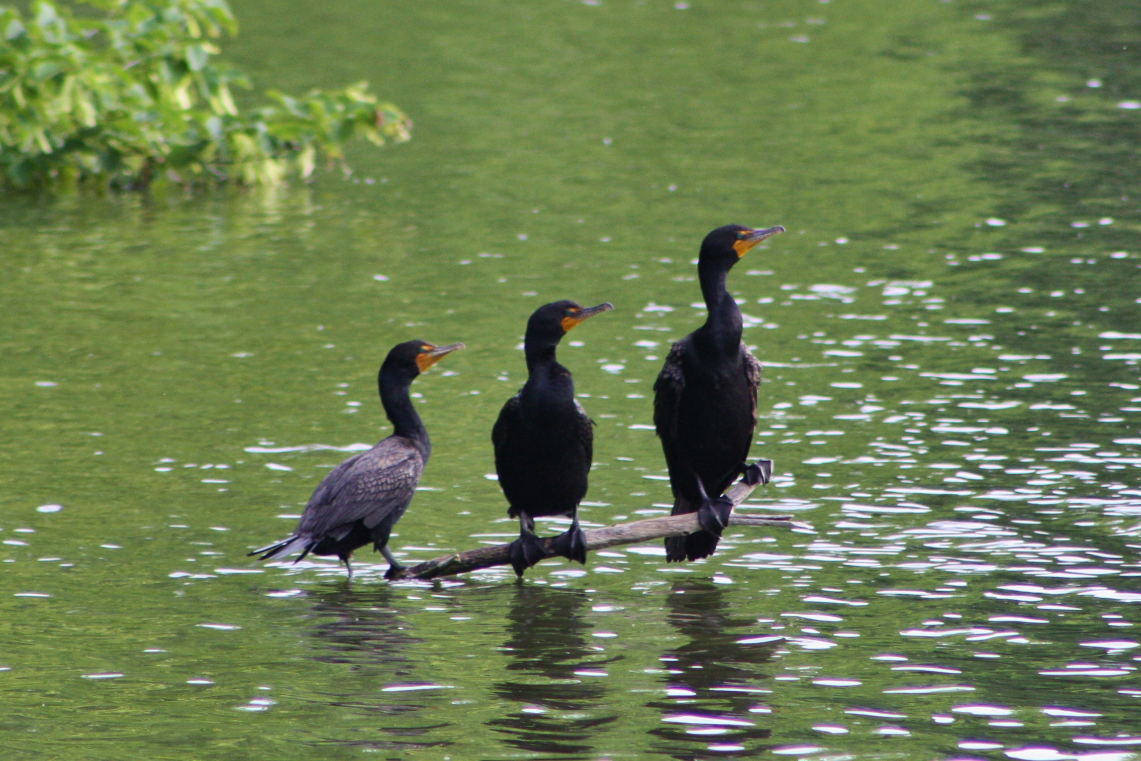 A trio of double-crested cormorants in front of Wilson Hall gaze into the distance. Photo: Bridget Scerini, TD