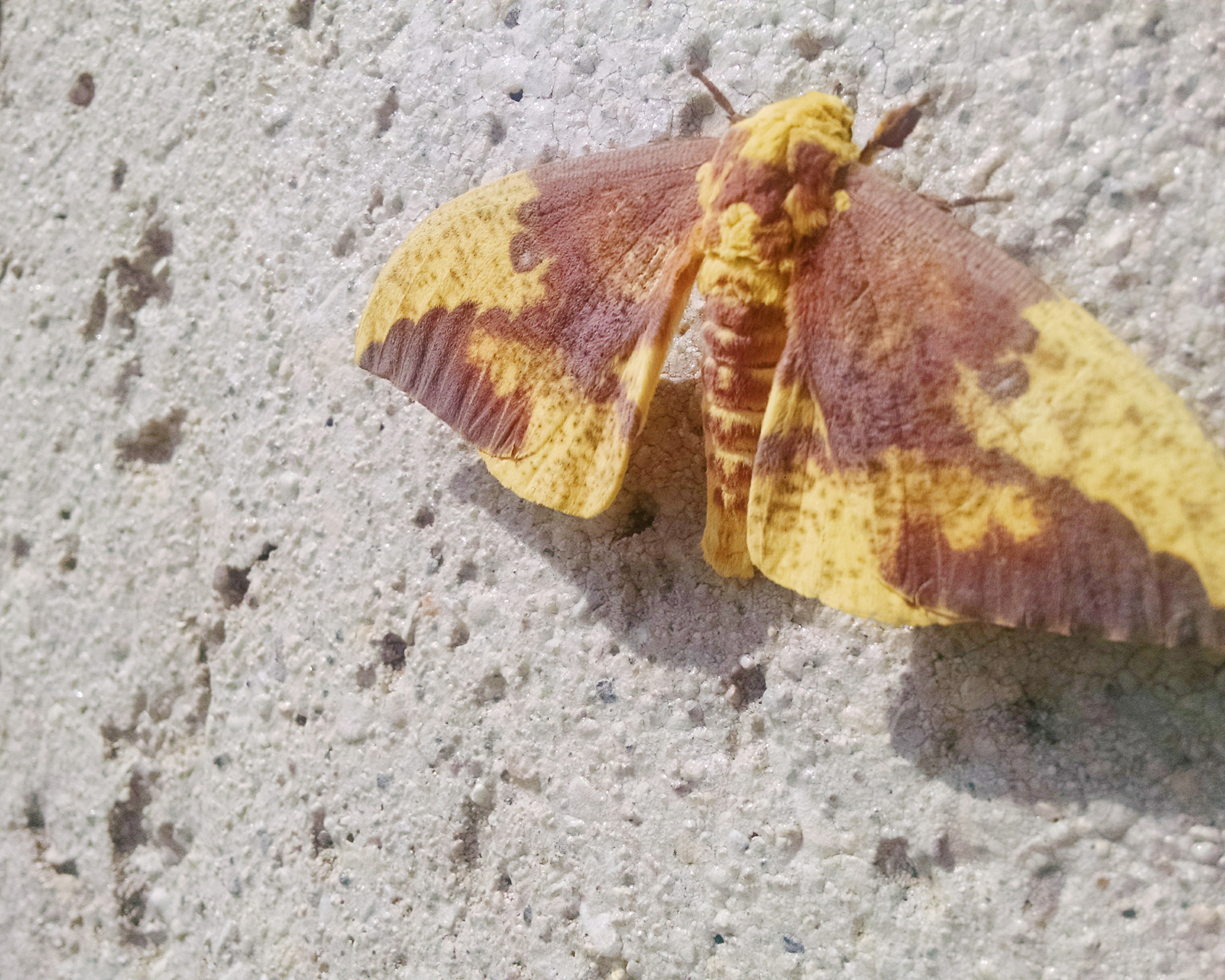 An imperial moth graces Wilson Hall. Photo: Adam Bracero, TD