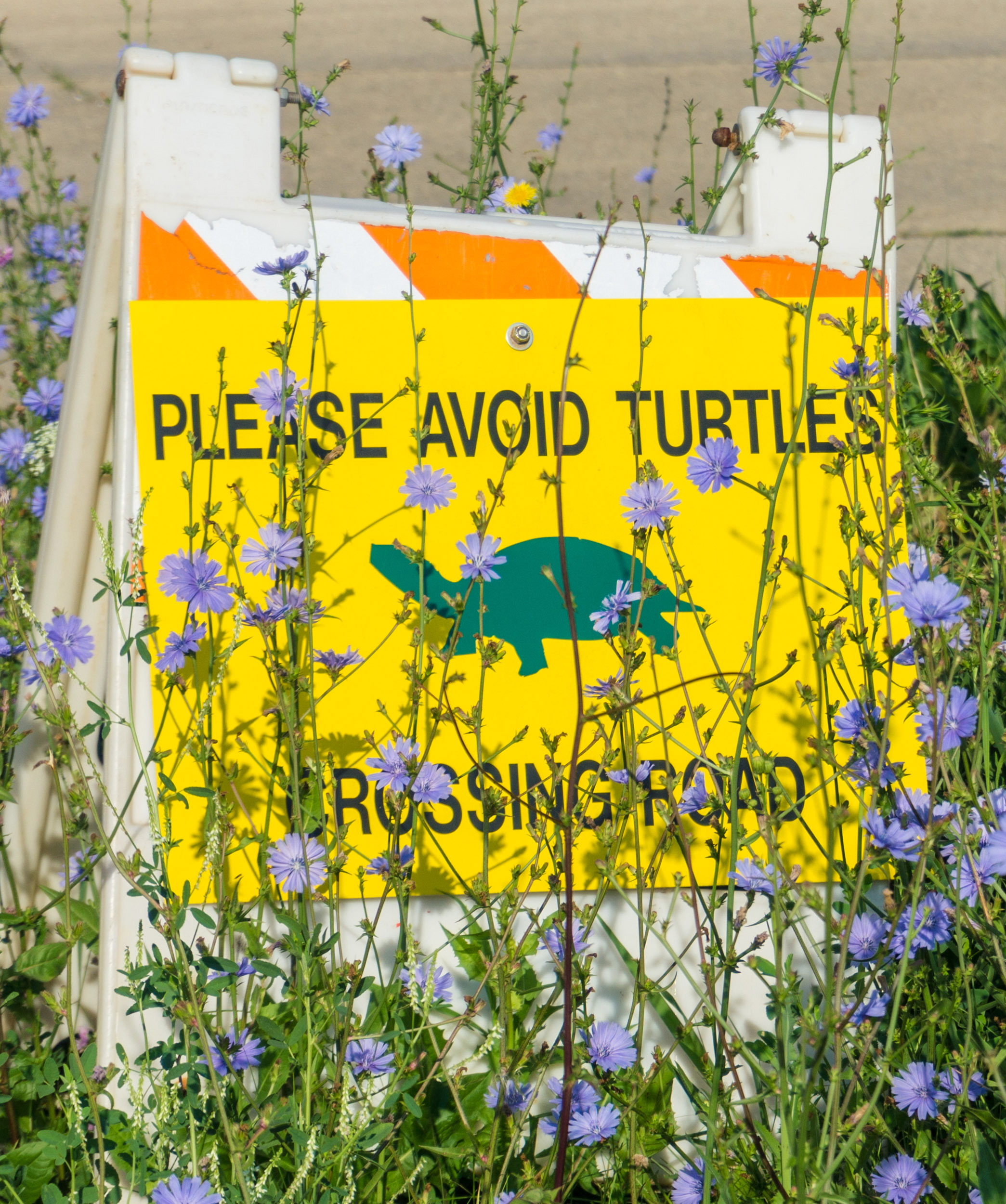 Chicory blooms the brightest in the morning, and it surrounds this turtle crossing sign at the Main Ring Road entrance at CZero. Photo: Elliott McCrory, AD
