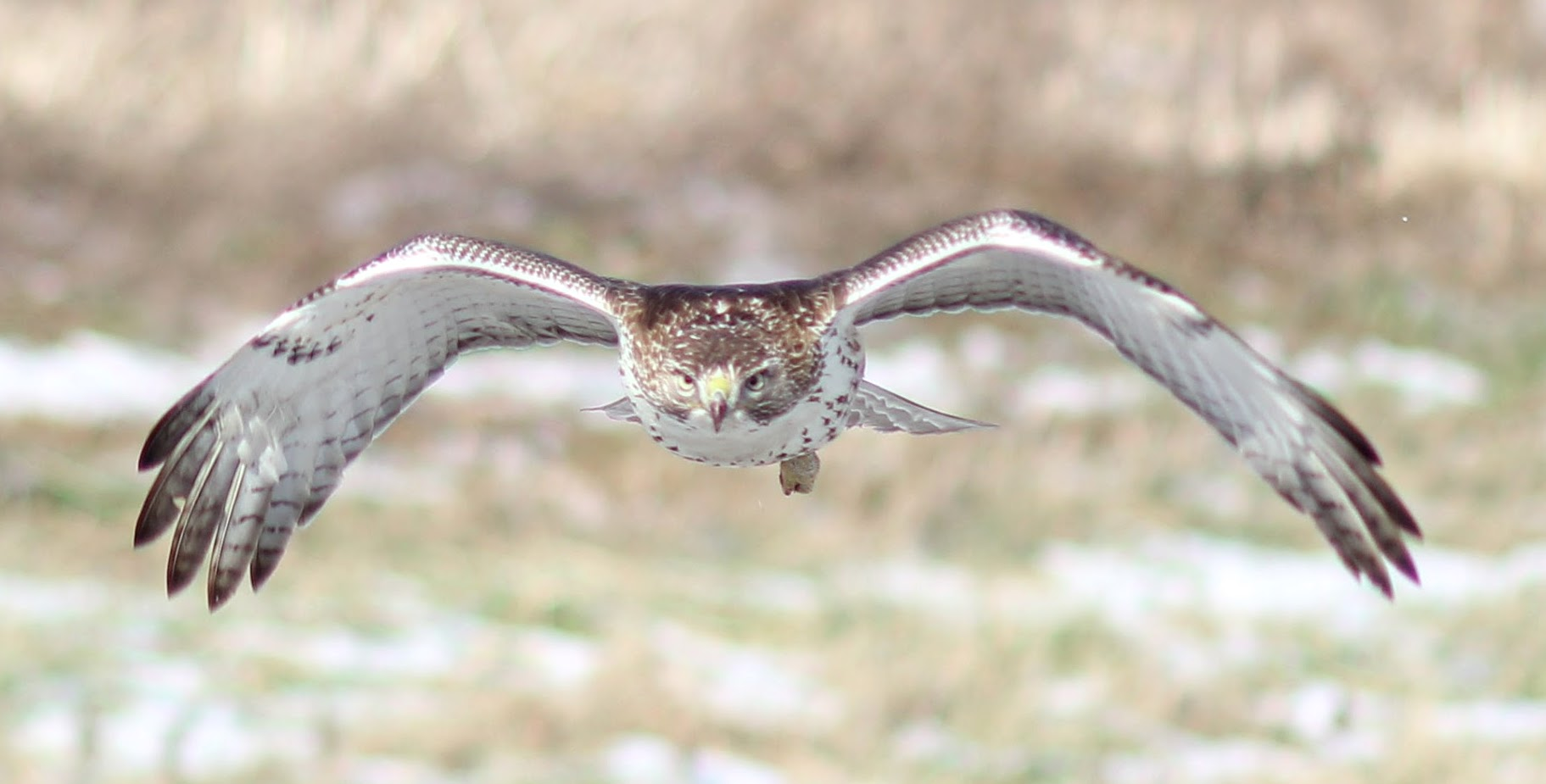 This hawk practically flew into the photographer as he was taking a walk one afternoon. Photo: Jeff Artel, WDRS