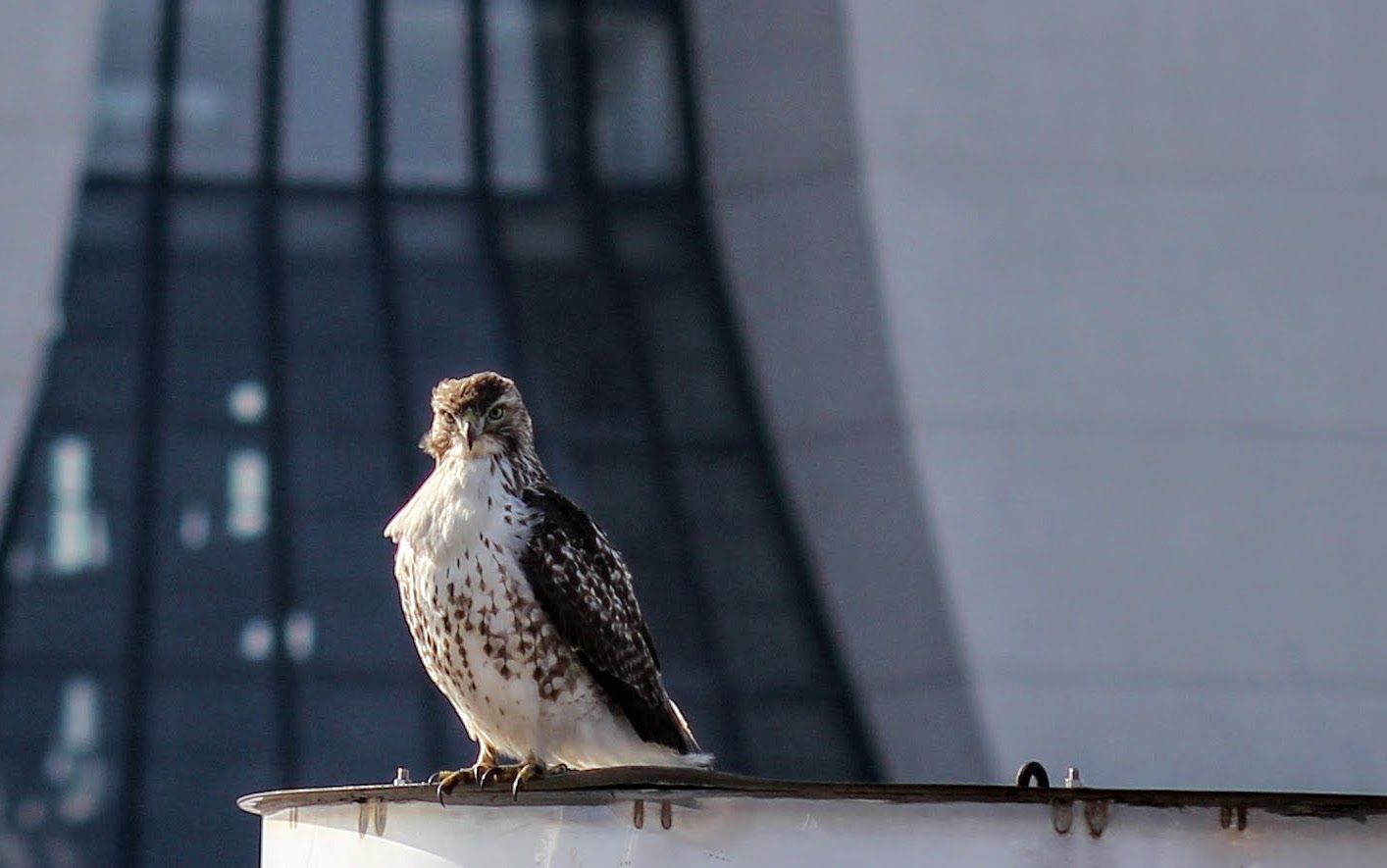 One of Fermilab's resident hawks perches by Wilson Hall. Photo: Jeff Artel, WDRS
