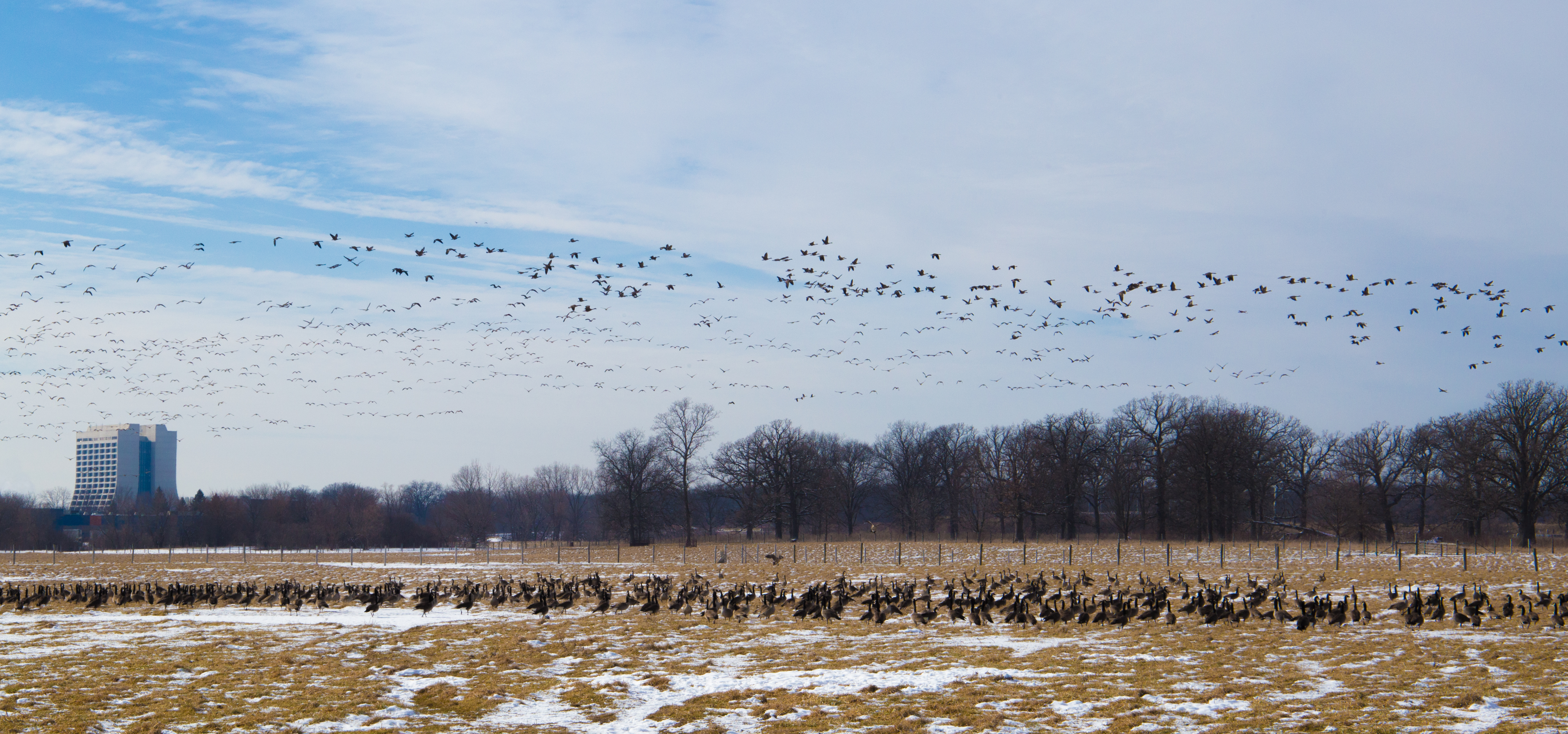 Geese flee as Fermilab Herdsman Cleo Garcia drives through pasture to check up on the lab's bison. Photo: Rashmi Shivni, OC