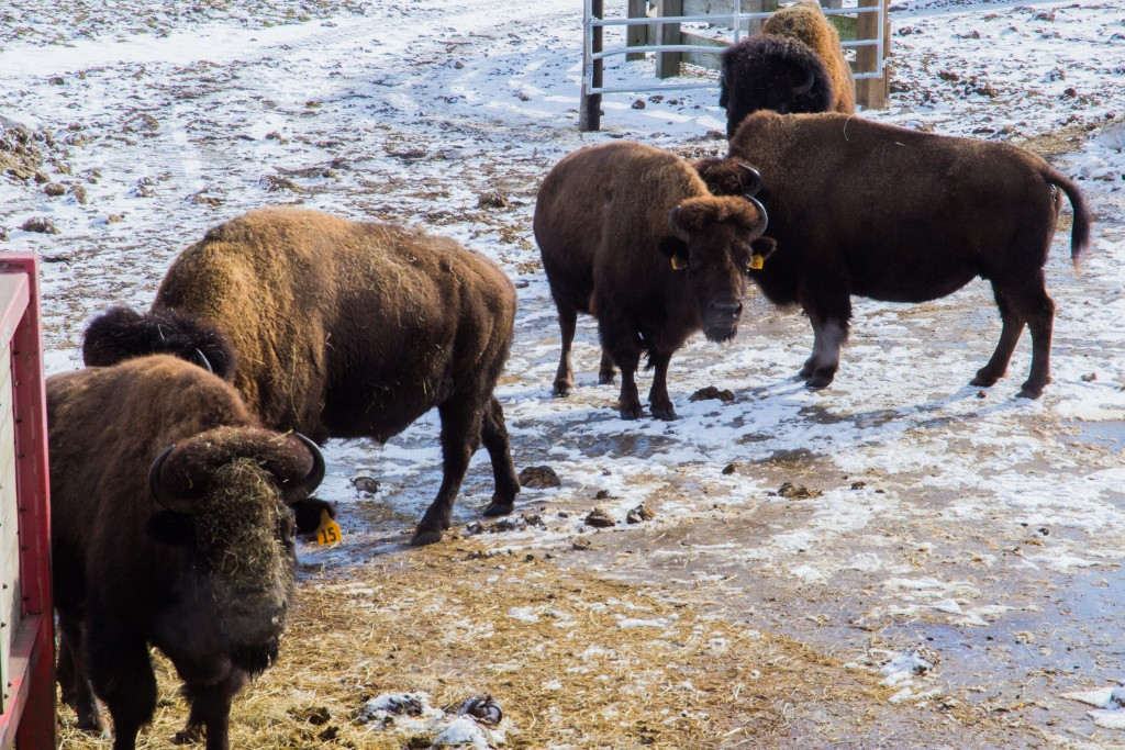Fermilab's bison herd is genetically pure, displaying no evidence of cattle genes. Photo: Rashmi Shivni