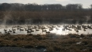 On this morning, in which temperatures were in the single digits, a gaggle of geese rested in the F Sector Pond string as moisture evaporated from the active cooling pond. What a day for a steam bath! Photo: Maurice Ball, AD