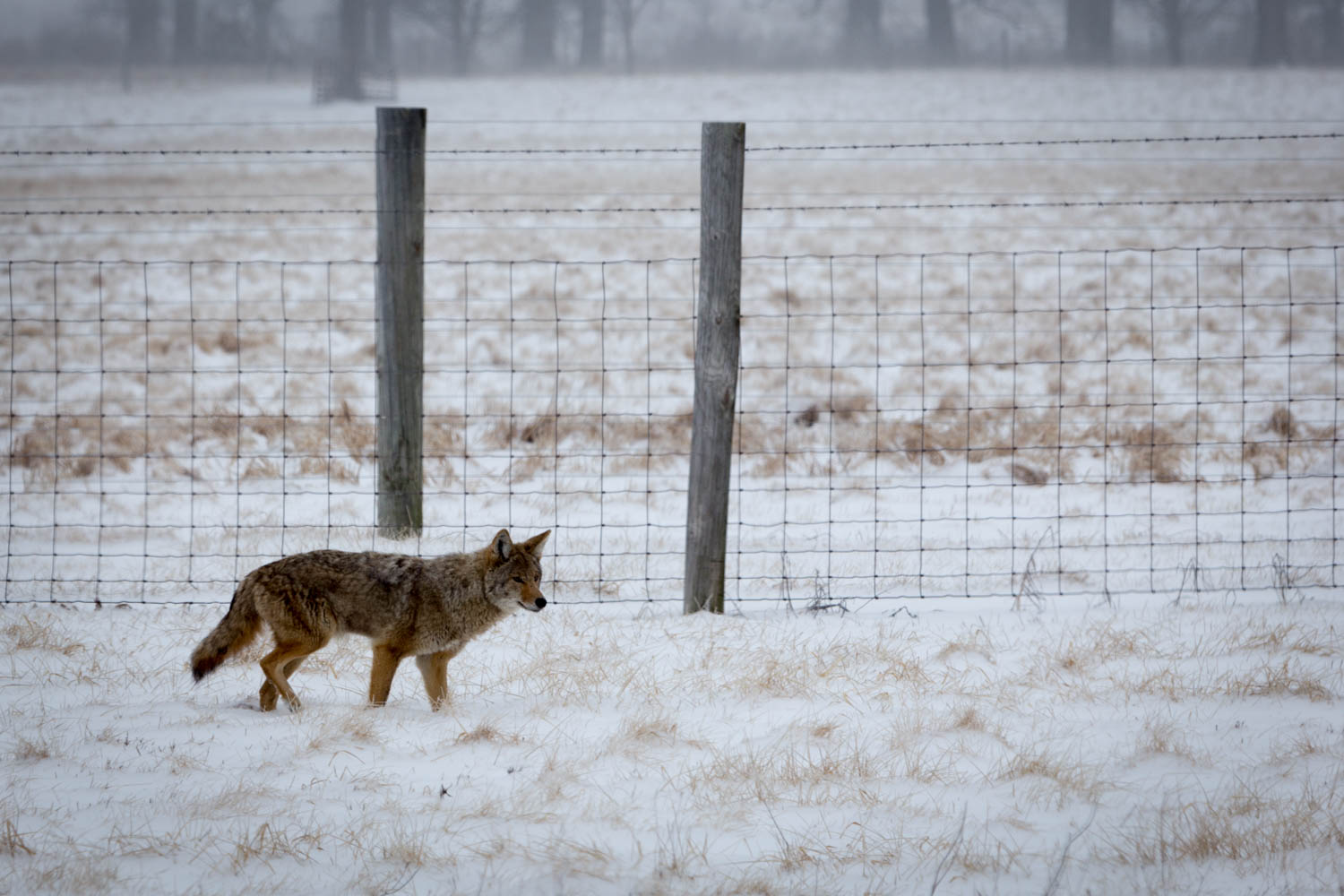 A coyote stops by the bison pasture on a snowy day. Photo: Jesus Orduna, Brown University