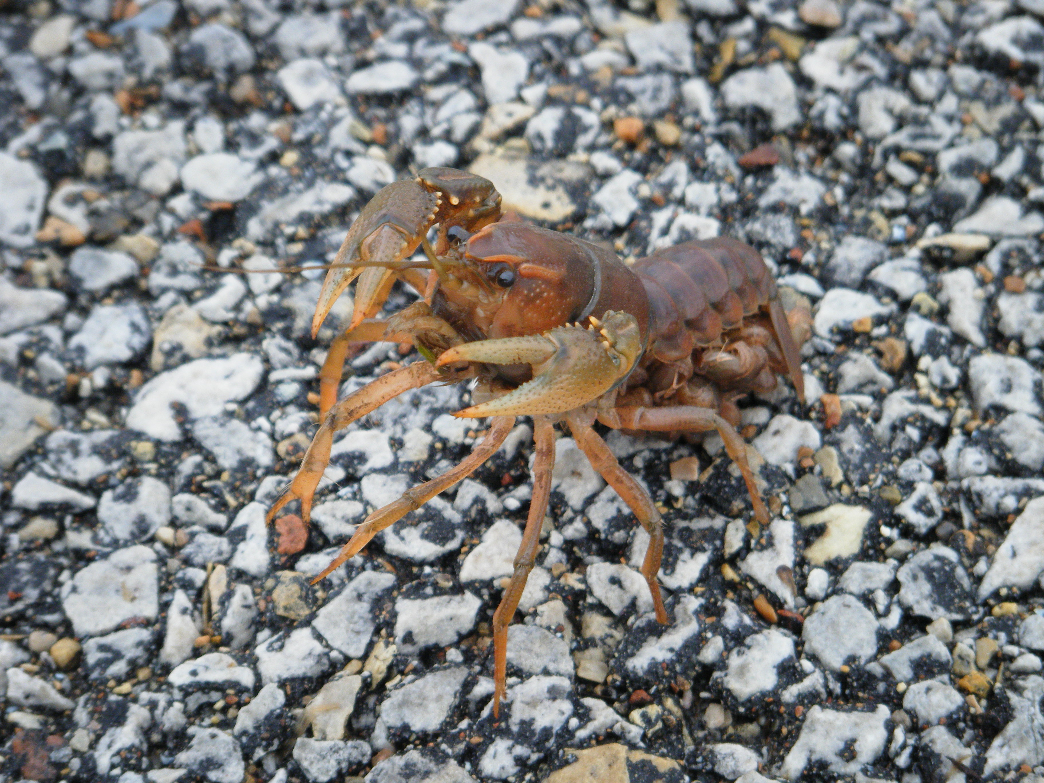 This sweet little creature, which is carrying a load of just-hatched babies underneath its tail, was spotted on the bike path last week. Photo: Robin Bjorkquist, Cornell University