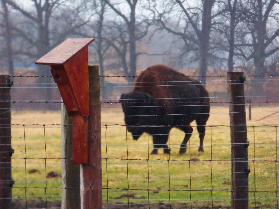 A bison takes a stroll on the spring wet grass. Photo: Amy Scroggins, Abri Credit Union