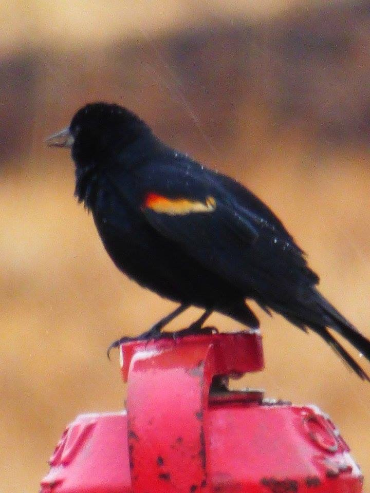 A blackbird takes a shower on a recent wet day at the laboratory. Photo: Amy Scroggins, Abri Credit Union