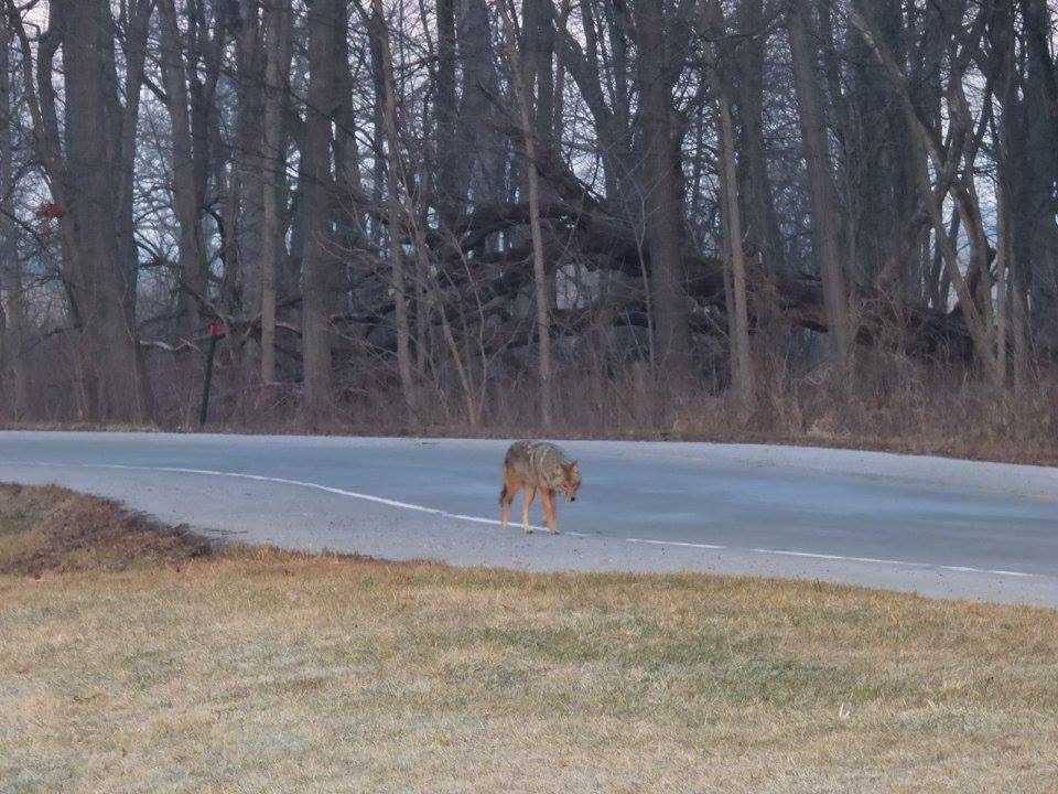 A lone coyote walks down Pine Street like he owns it. Photo: Amy Scroggins, Abri Credit Union.