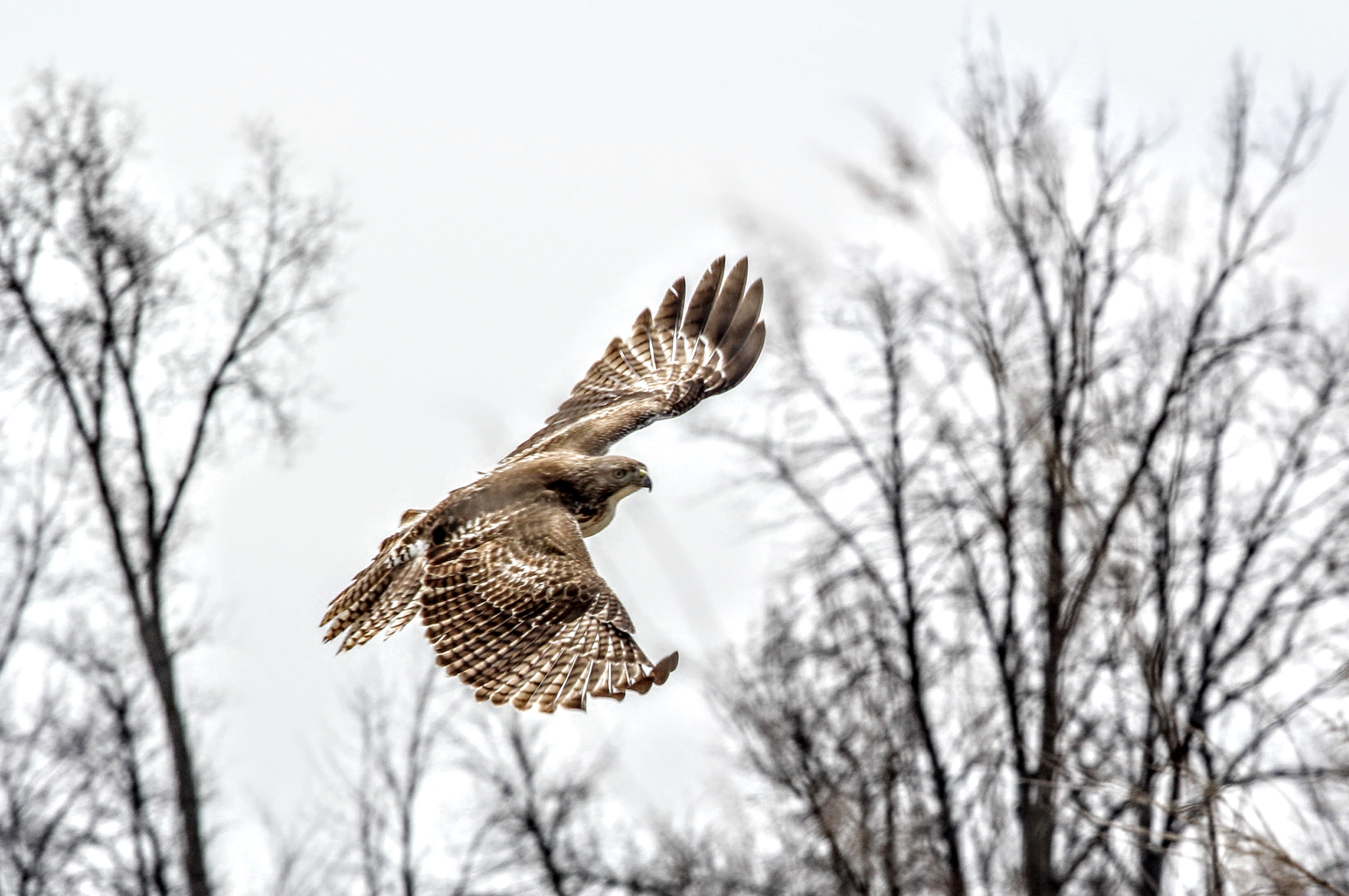 A hawk takes flight after guarding his post near Wilson Hall. Photo: Jeff Artel, WDRS