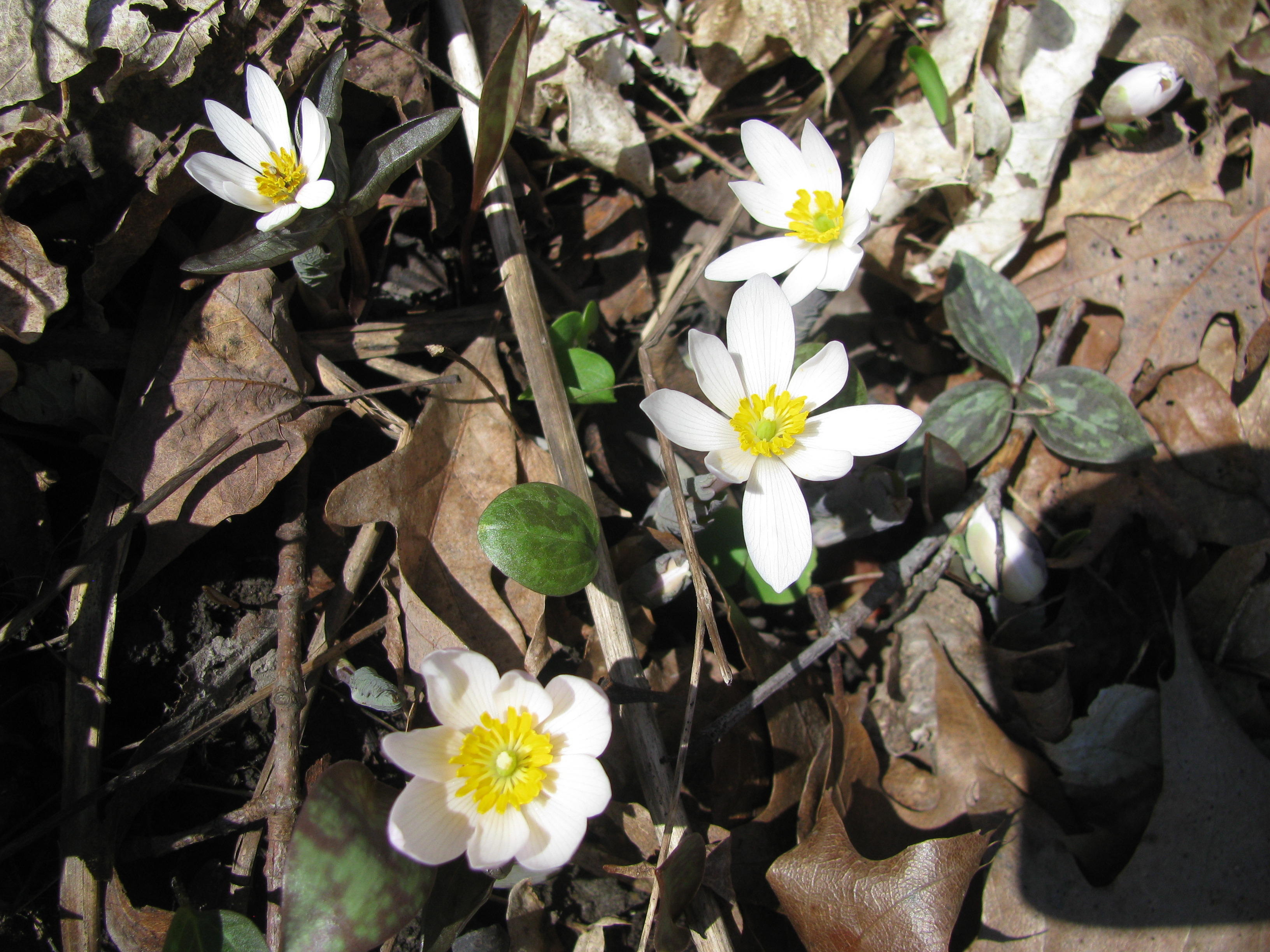 Spring is showing itself. These bloodroot flowers are growing in Big Woods. Photo: Sue Quarto, FESS