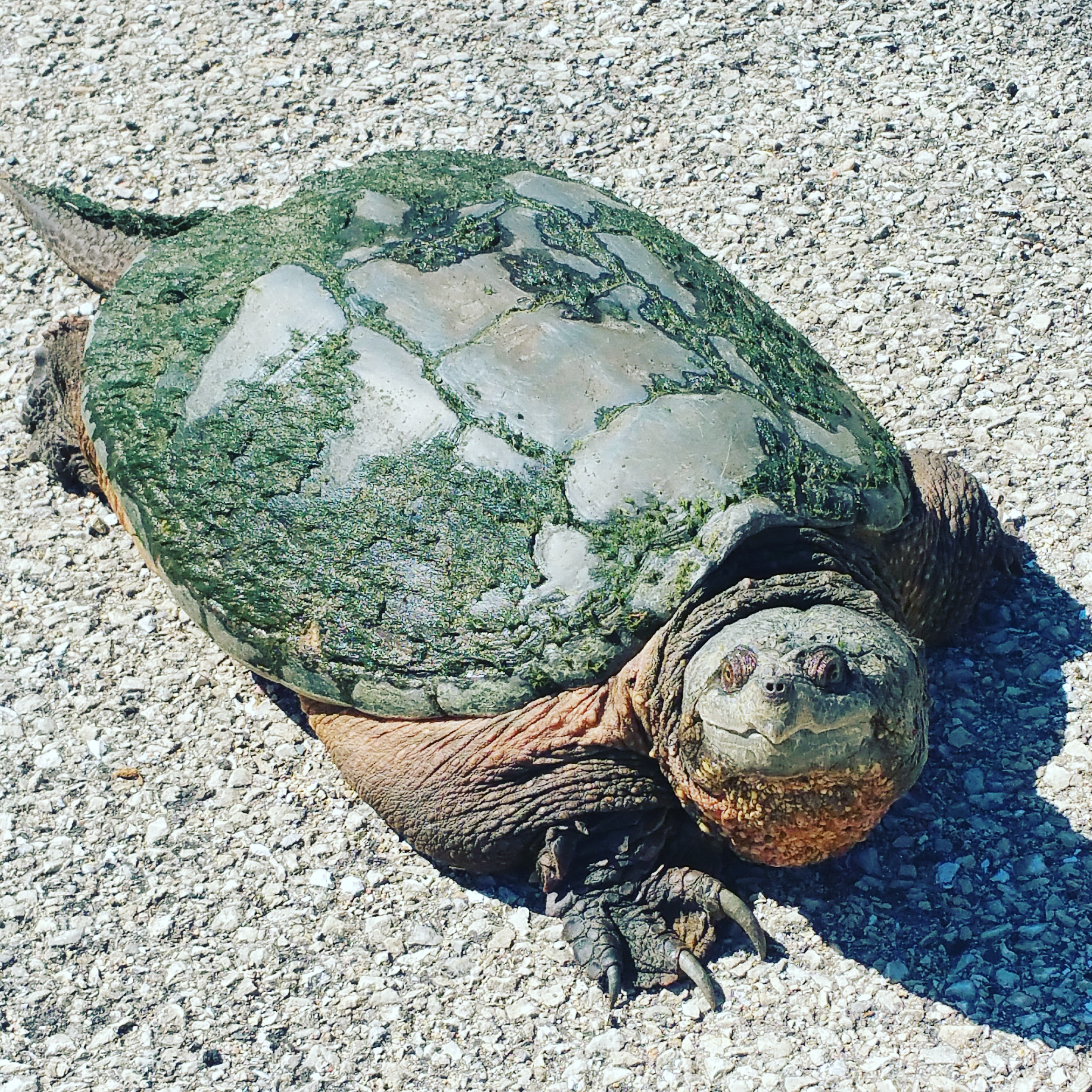 This turtle was spotted in the parking lot of the Lederman Science Center on April 15. Photo: Bridget Scerini, ESH&Q