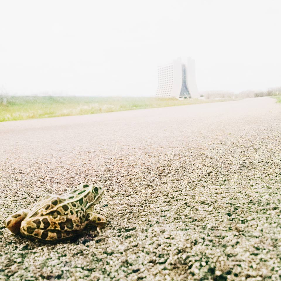A frog plays a game of frogger at Fermilab on the bike path. Photo: Adam Bracero, TD