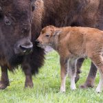 The first baby bison of 2016 joins the Fermilab herd. Photo: Reidar Hahn