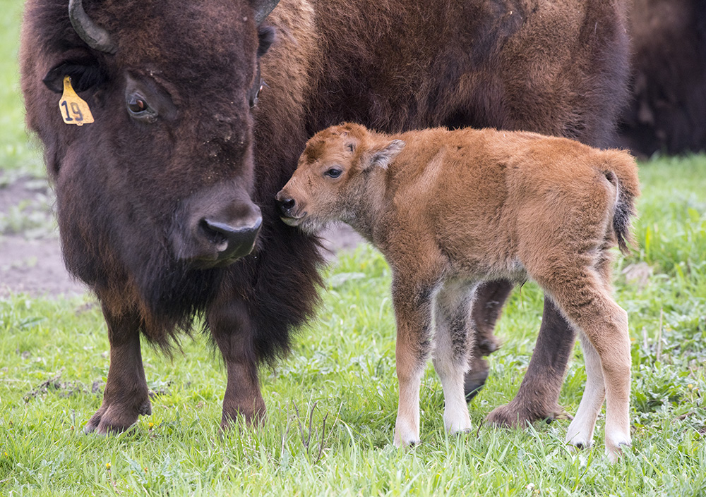 it u2019s baby bison time  fermilab sees first new addition to