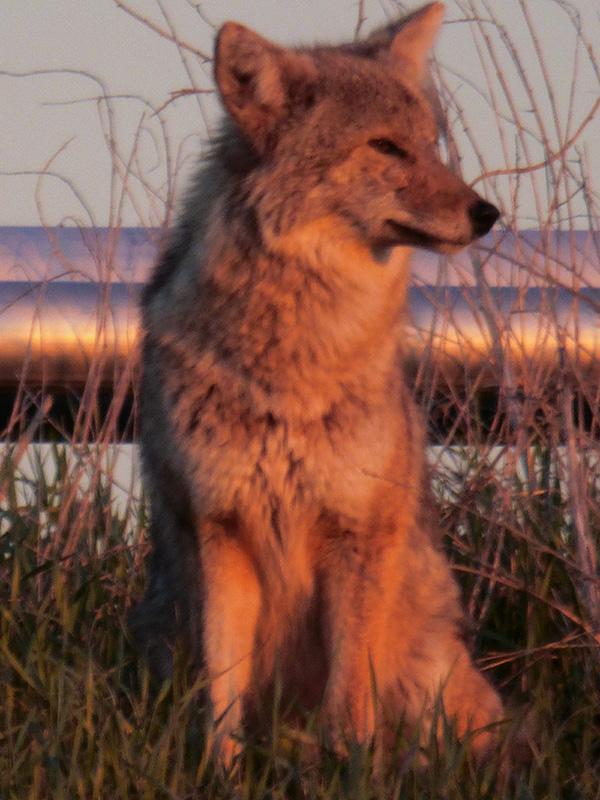 A coyote keeps lookout by DZero. Photo: Amy Scroggins, Abri Credit Union