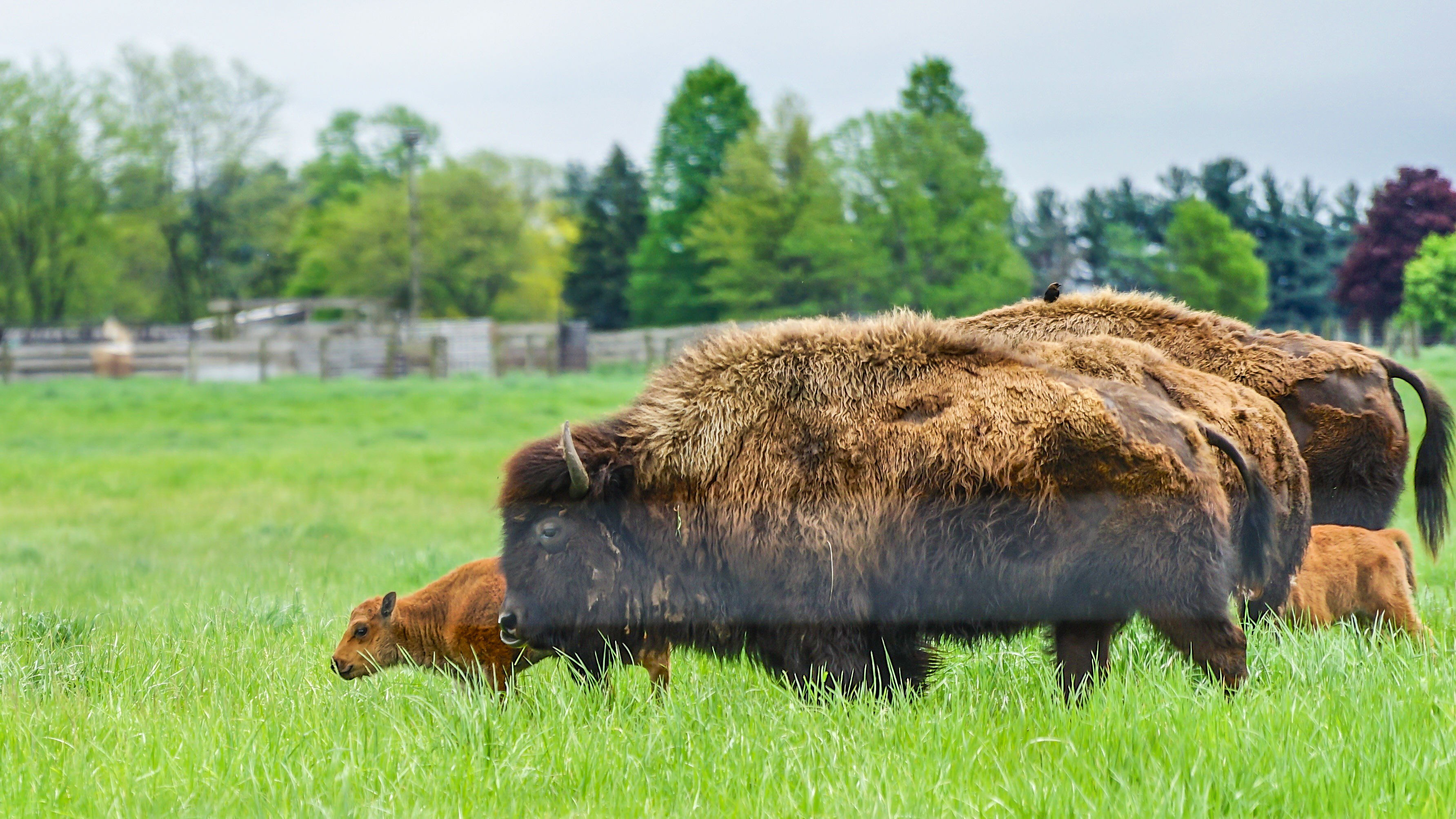 Baby bison stroll with their mothers. Photo: Leticia Shaddix, PPD