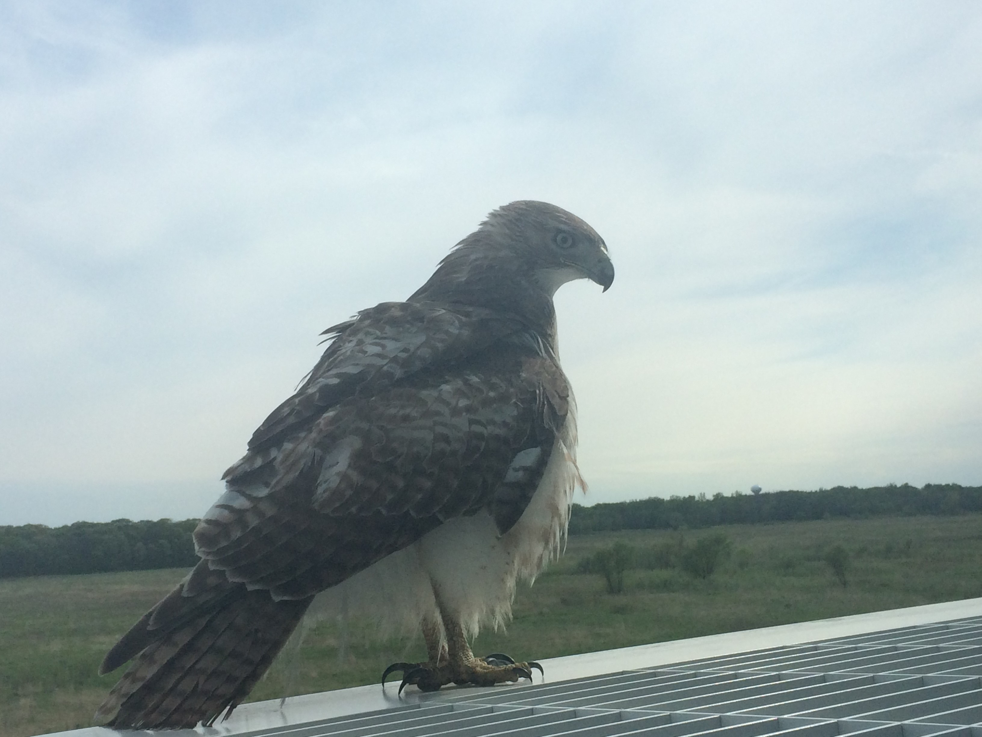 A hawk surveys the Fermilab scene from atop the IARC Office, Technical and Education Building. Photo: Aaron Sauers, IARC